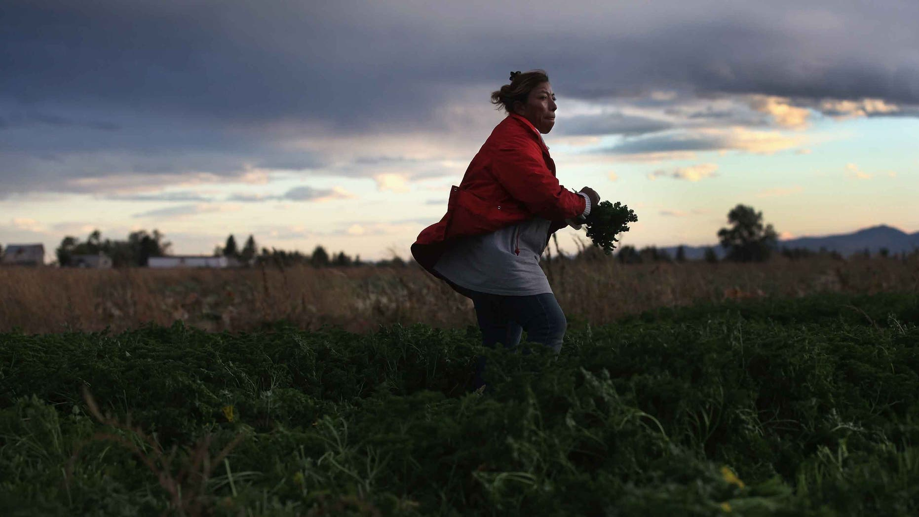 """WELLINGTON, CO - OCTOBER 11:  A Mexican immigrant worker harvests organic parsley at Grant Family Farms on October 11, 2011 in Wellington, Colorado. Although demand for the farm's organic produce is high, Andy Grant said that his migrant labor force, mostly from Mexico, is sharply down this year and that he'll be unable to harvest up to a third of his fall crops, leaving vegetables in the fields to rot. He said that stricter U.S. immigration policies nationwide have created a """"climate of fear"""" in the immigrant community and many workers have either gone back to Mexico or have been deported. Although Grant requires proof of legal immigration status from his employees, undocumented migrant workers frequently obtain falsified permits in order to work throughout the U.S. Many farmers nationwide say they have found it nearly impossible to hire American citizens for labor-intensive seasonal farm work.  (Photo by John Moore/Getty Images)"""