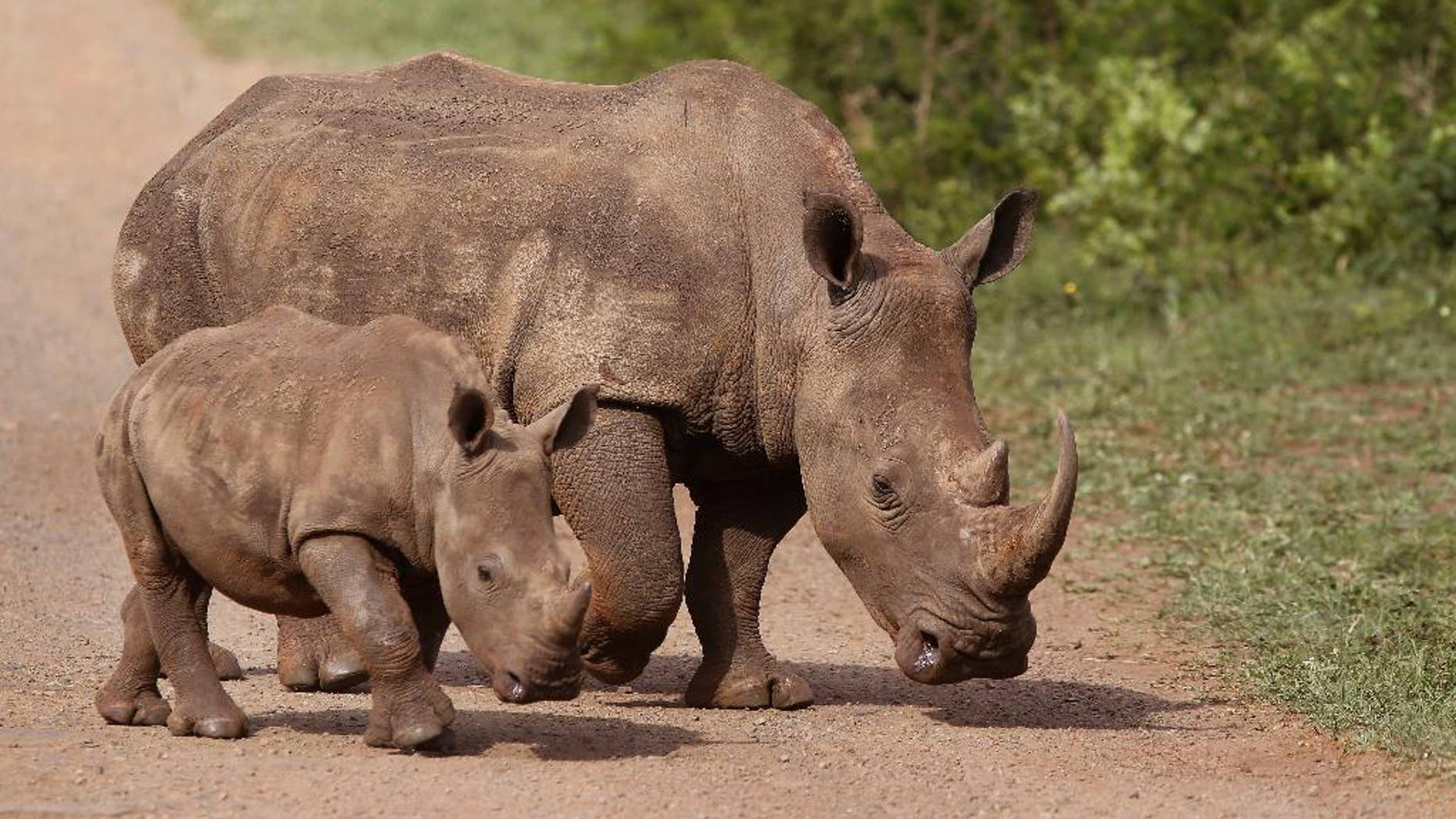 FILE - In this Sunday, Dec. 20, 2015 file photo, rhinos walk in the Hluhluwe-Imfolozi game reserve in South Africa. The African kingdom of Swaziland, which has 73 rhinos, said Monday that it could use funds from the sale of its stockpile of 330 kilograms (727 pounds) of rhino horn to pay for wildlife protection. Delegates, however, rejected the Swazi proposal by a vote of 100 to 26, with 17 abstentions. (AP Photo/Schalk van Zuydam, File)