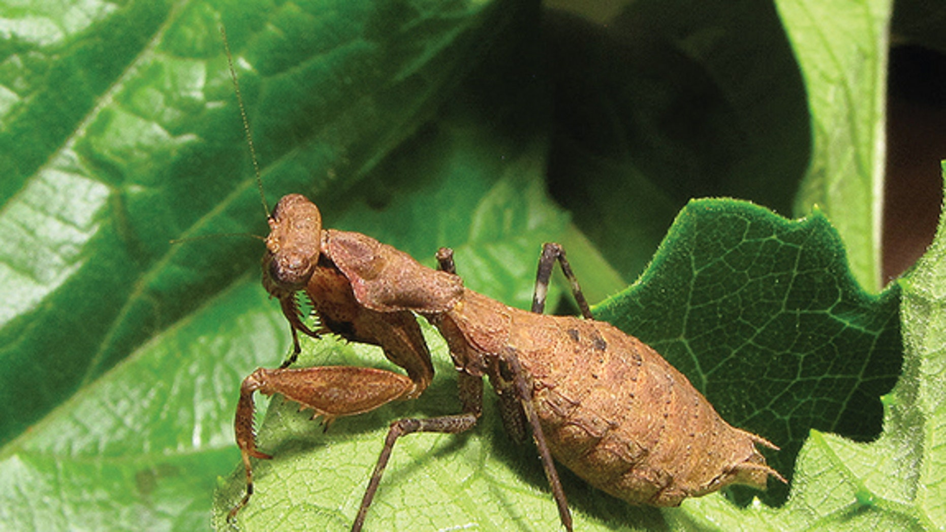 "The female wingless ""bush tiger mantis"" (Dystacta tigrifrutex) from Nyungwe National Park in southwestern Rwanda."