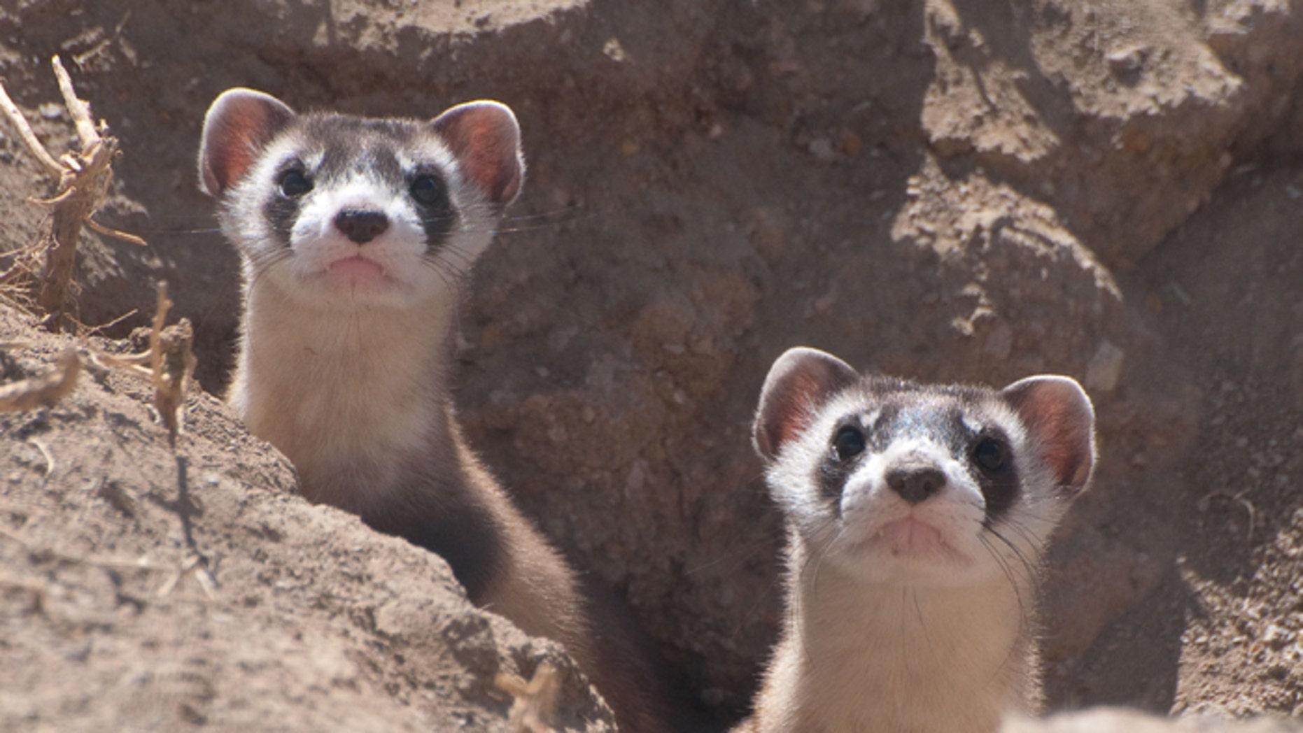 File photo - Two ferret kits peer out of a burrow (Photo Credit: Kimberly Tamkun, USFWS).