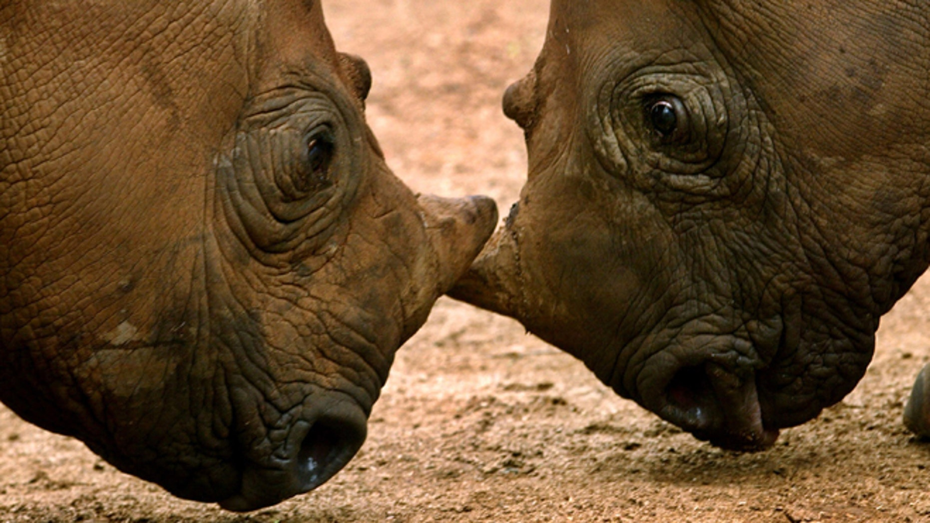 FILE - In this undated photo supplied by International Fund For Animal Welafre (IFAW), orphaned black rhinos square up after their release into a holding boma at Addo National Park, 50 miles north-east of Port Elizabeth, South Africa after each was abandoned at birth.