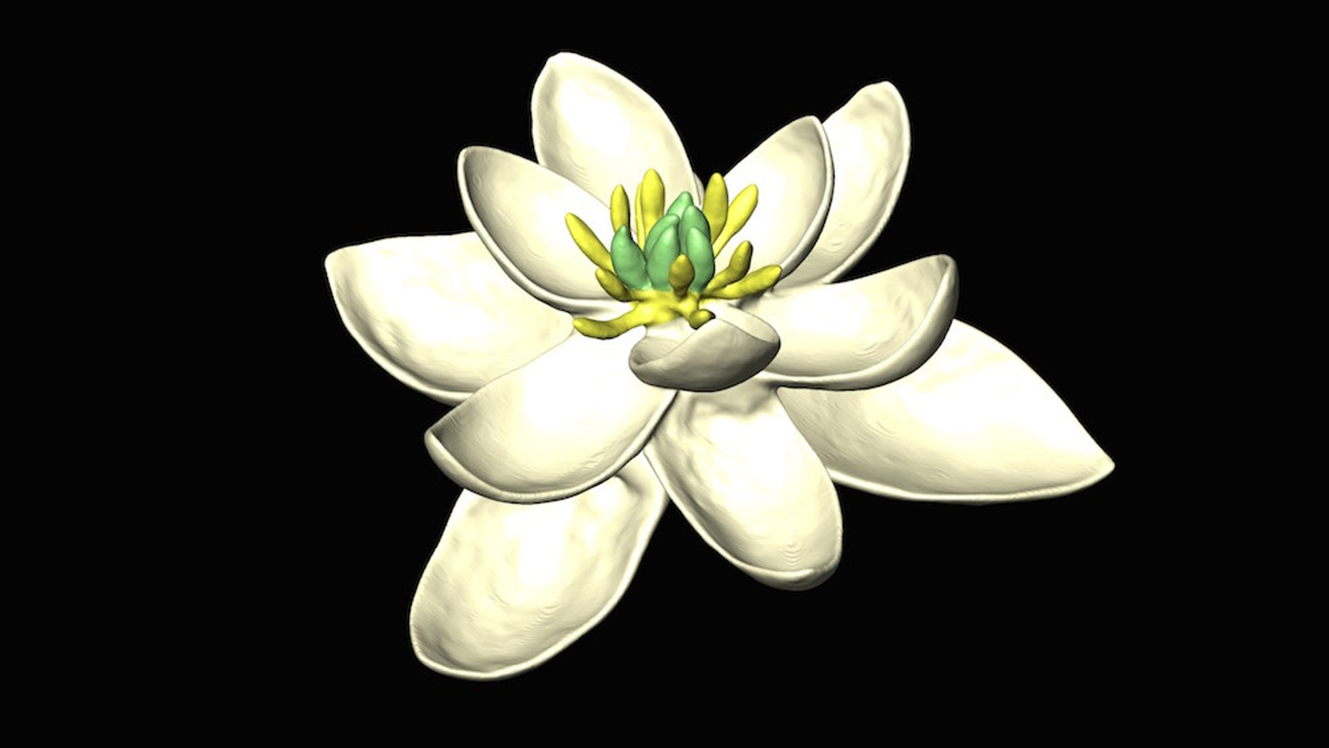 A 3D model of the reconstructed ancestral flower. It has both female (carpels) and male (stamens) parts, and multiple whorls of petal-like organs in sets of three.