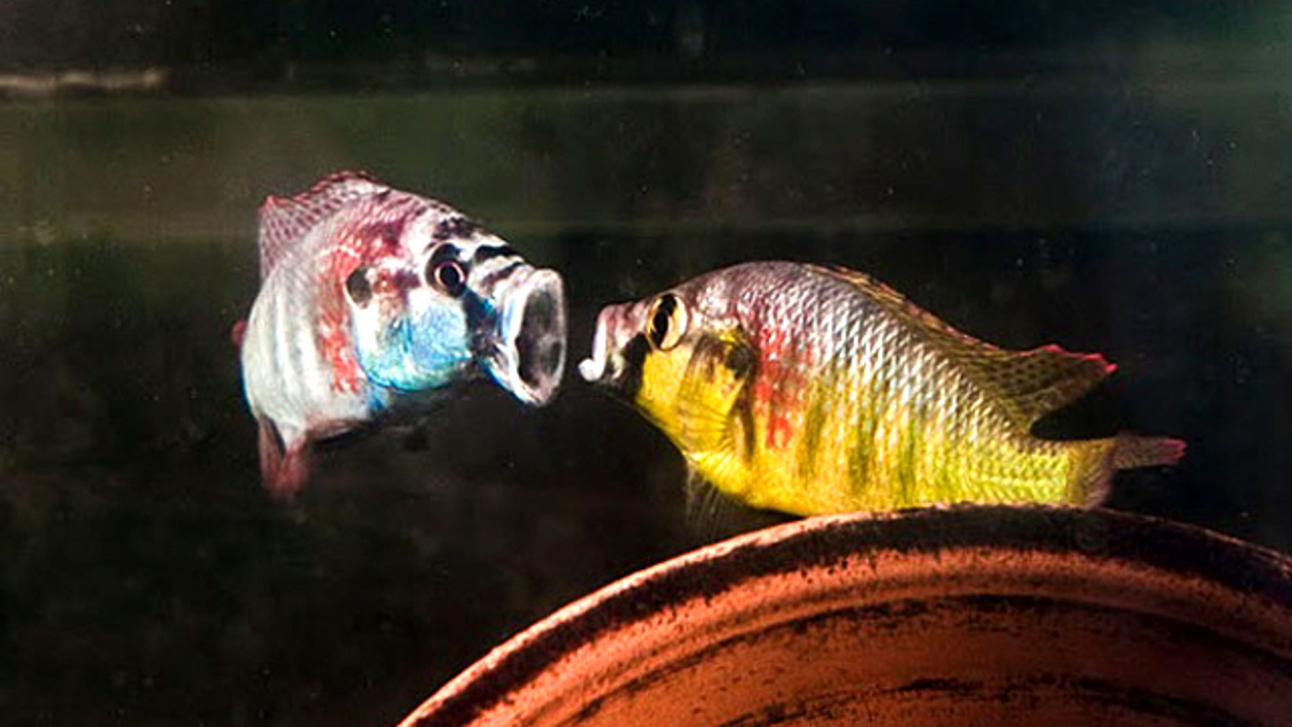 "Two male cichlids spar with each other by showing what big mouths they have. When two fish fight, all their movements are at least slightly out of sync. But when the foe is a fish's mirror image, the ""opponent's"" actions are perfectly in time, which seems to trigger an element of fear."