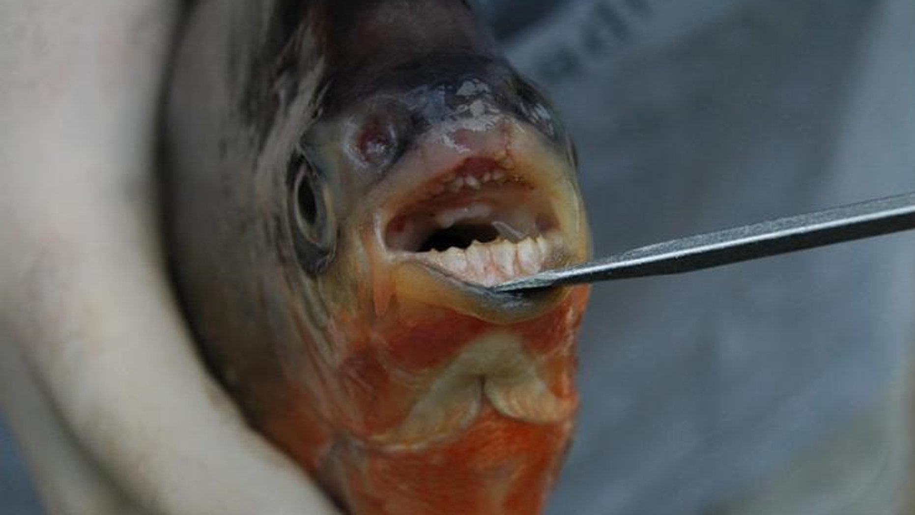 Smile! Pacus use their disturbingly human-like teeth for cracking open seeds and nuts.