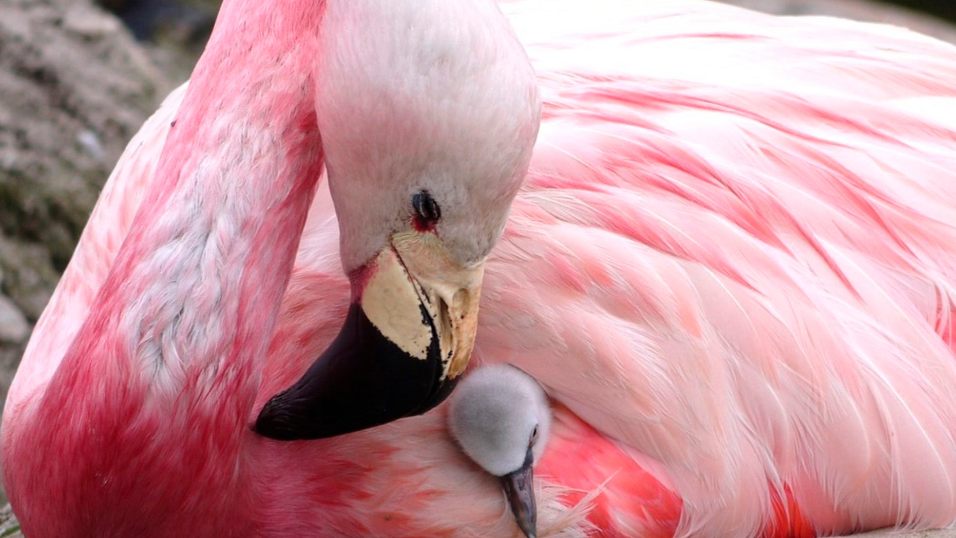Several Andean flamingos at a reserve in England have laid eggs for the first time in over a decade, a conservation charity says. An Andean flamingo looks after a surrogate Chilean flamingo chick, supplanted to replace its own infertile egg, in this undated photo.