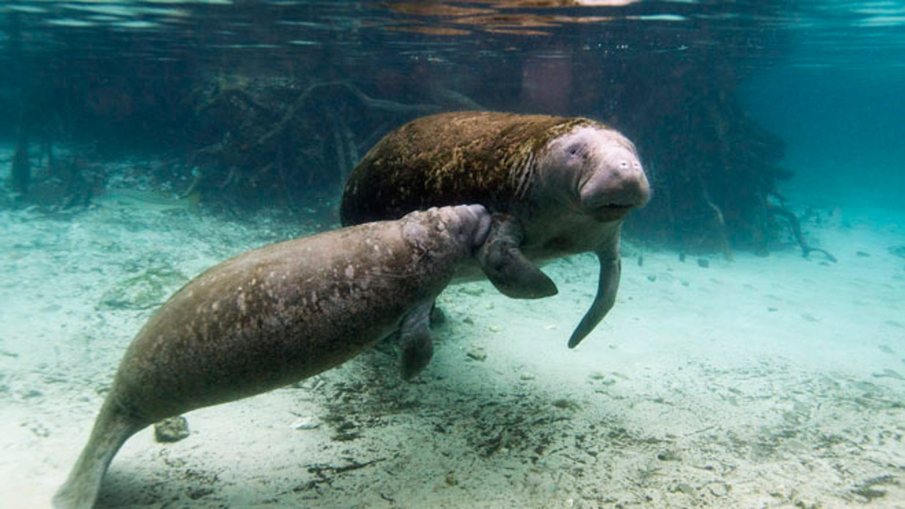 Jan. 15, 2014: A manatee calf nurses from its mother inside of the Three Sisters Springs in Crystal River, Florida.