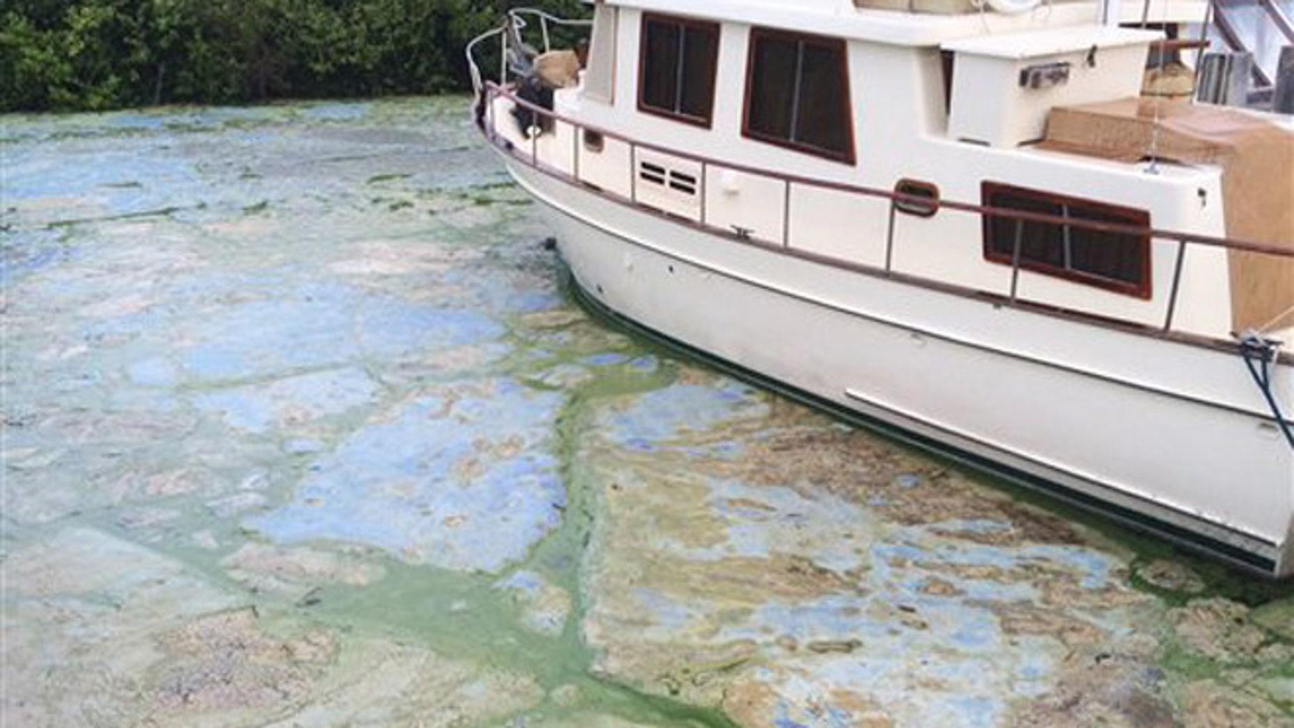 Algae covered water at Stuart's Central Marine boat docks is thick, Thursday, June 30, 2016, in Stuart, Fla.
