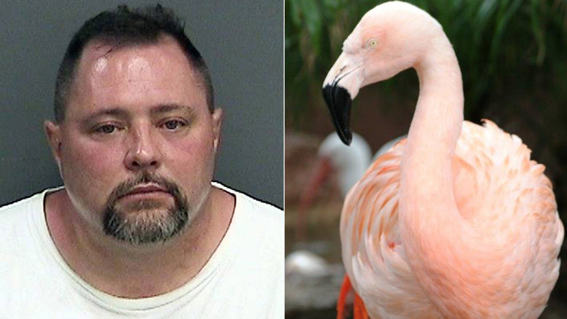 These undated photos show Joseph Corrao (left) and Pinky, a flamingo at Busch Gardens in Tampa, Fla. Police say Corrao was visiting the theme park with his family when he reached into a pen, picked up Pinky and threw her down. The bird suffered traumatic injuries and had to be euthanized. Corrao was arrested and released on bond.