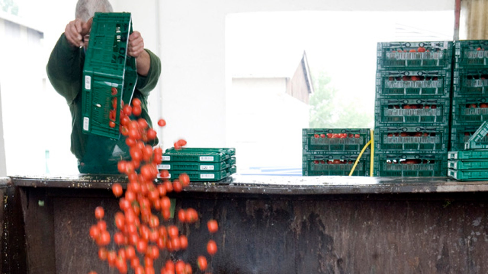 June 7, 2011: An employee of a vegetable company throws away tomatoes in Werder, eastern Germany.