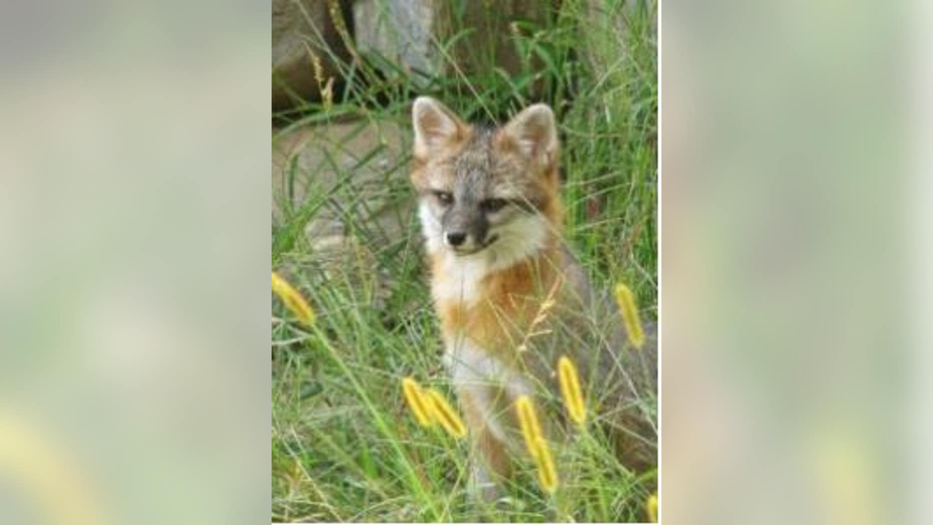 Gray fox are commonly found in southern and central Maine, according to the Maine Department of Inland Fisheries and Wildlife.