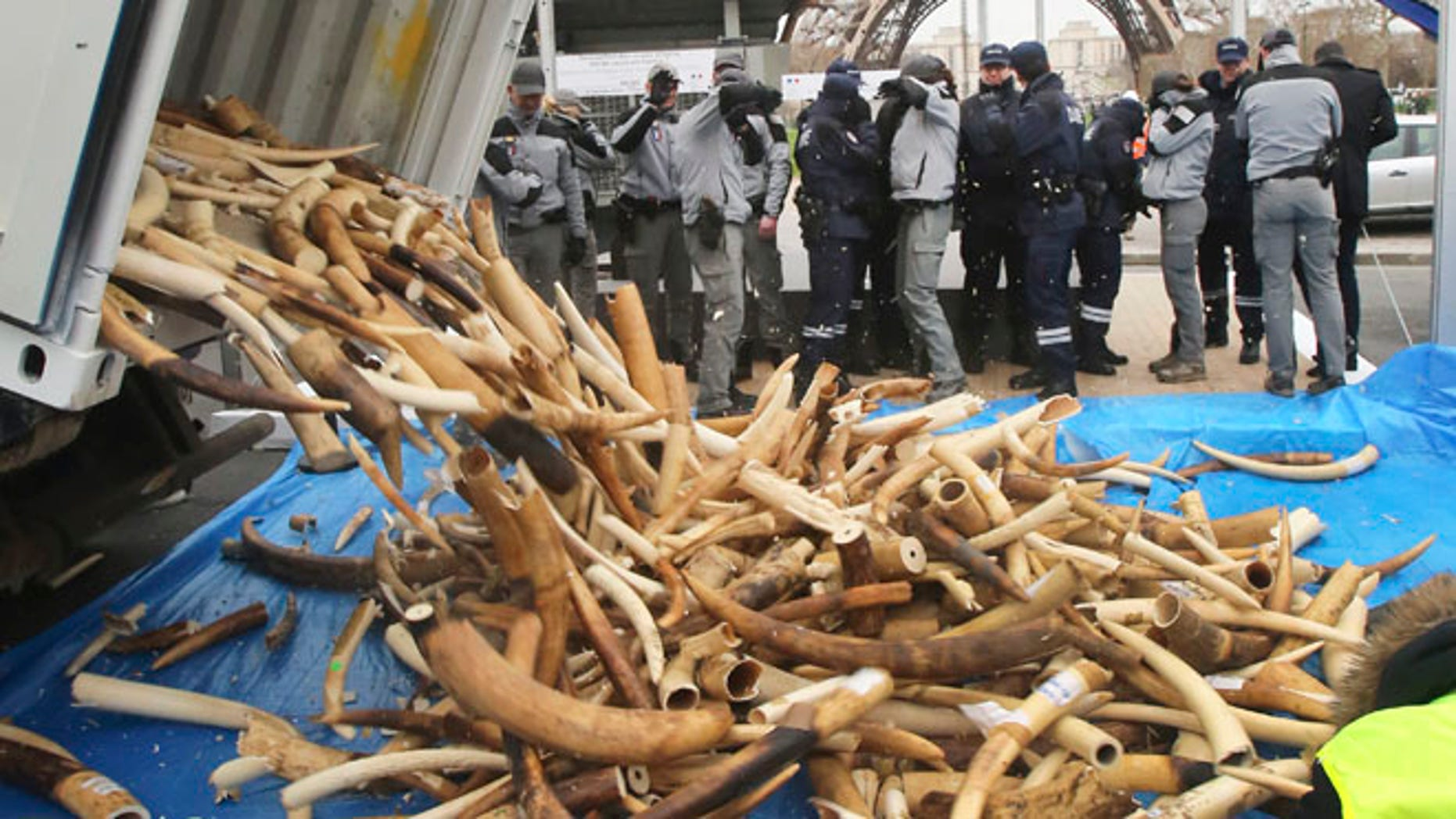Feb. 6, 2014: French Customs employees protect themselves from fragments as about 698 elephant tusks are unloaded before being crushed into dust, at the foot of the Eiffel Tower in Paris.
