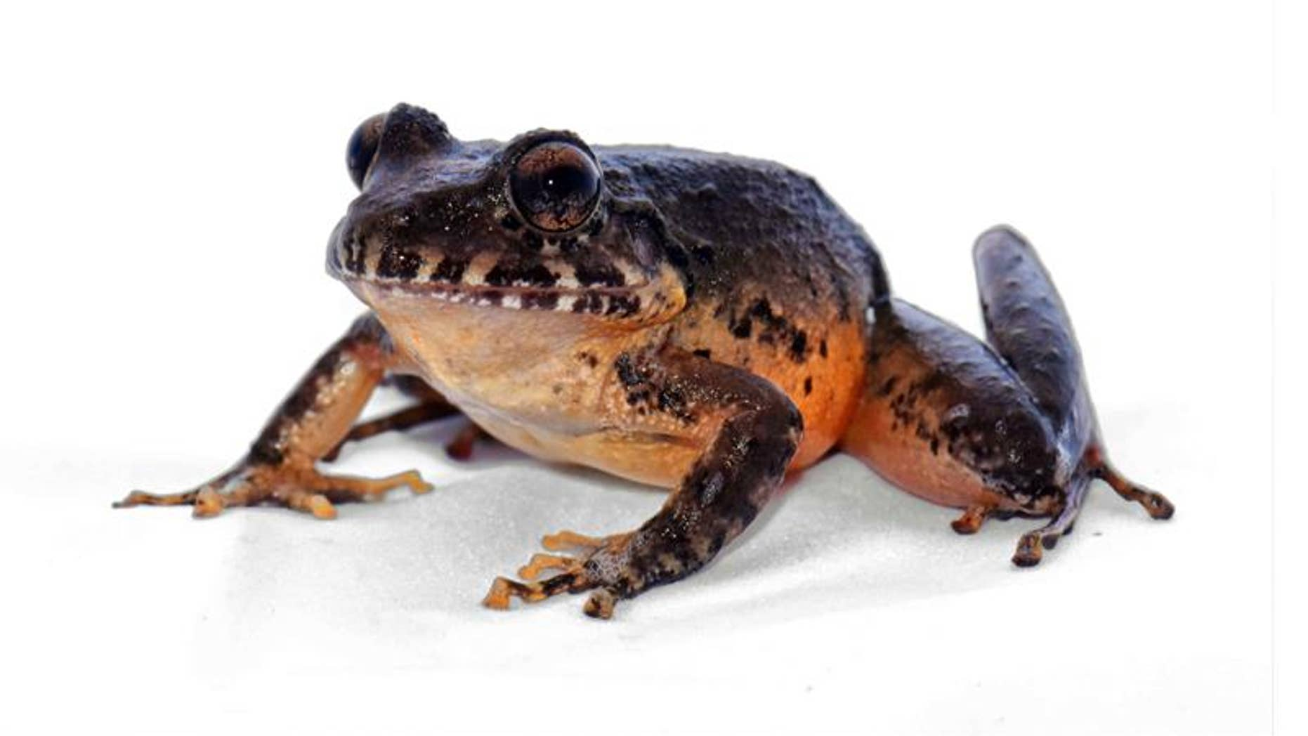 The Heredia robber frog, an endemic frog species,had not been sighted for three decades.
