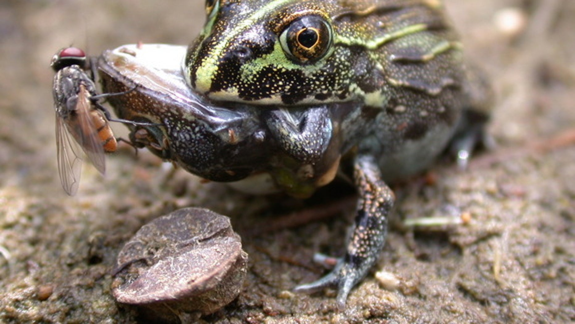 A large frog snacks on a smaller frog.