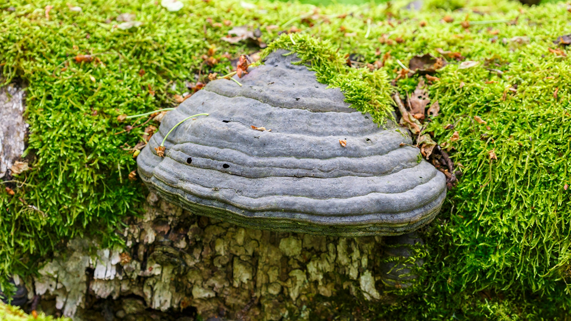 Fomes fomentarius, or tinder fungus, is helpful for starting fires.