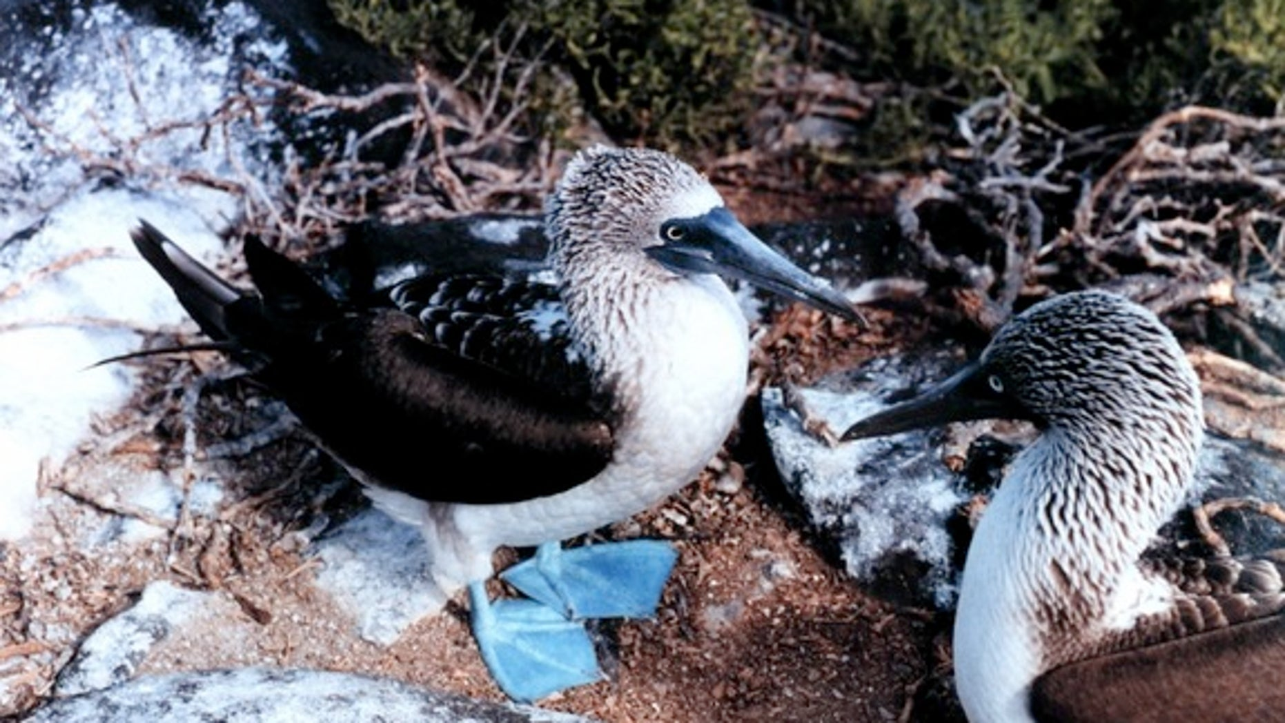 Invasive rodents threaten the eggs of Galapagos island birds, such as these blue-footed boobies photographed on Espanola Island.