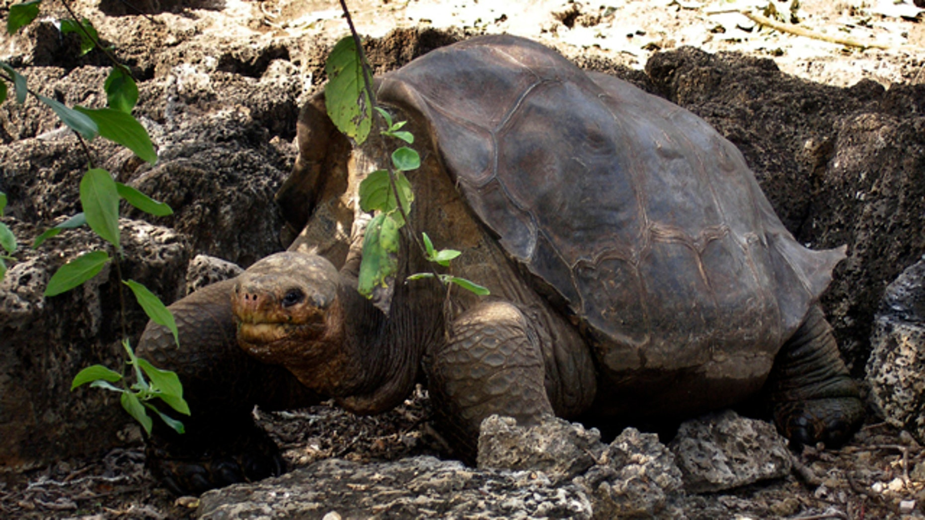 """July 21, 2008: A giant tortoise named """"Lonesome George"""" is seen in the Galapagos islands, an archipelago off Ecuador's Pacific coast."""