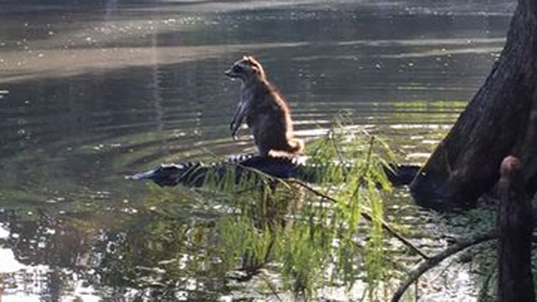 Richard Jones says he captured this photo of a raccoon resting on an alligator Saturday in Ocala, Fla.