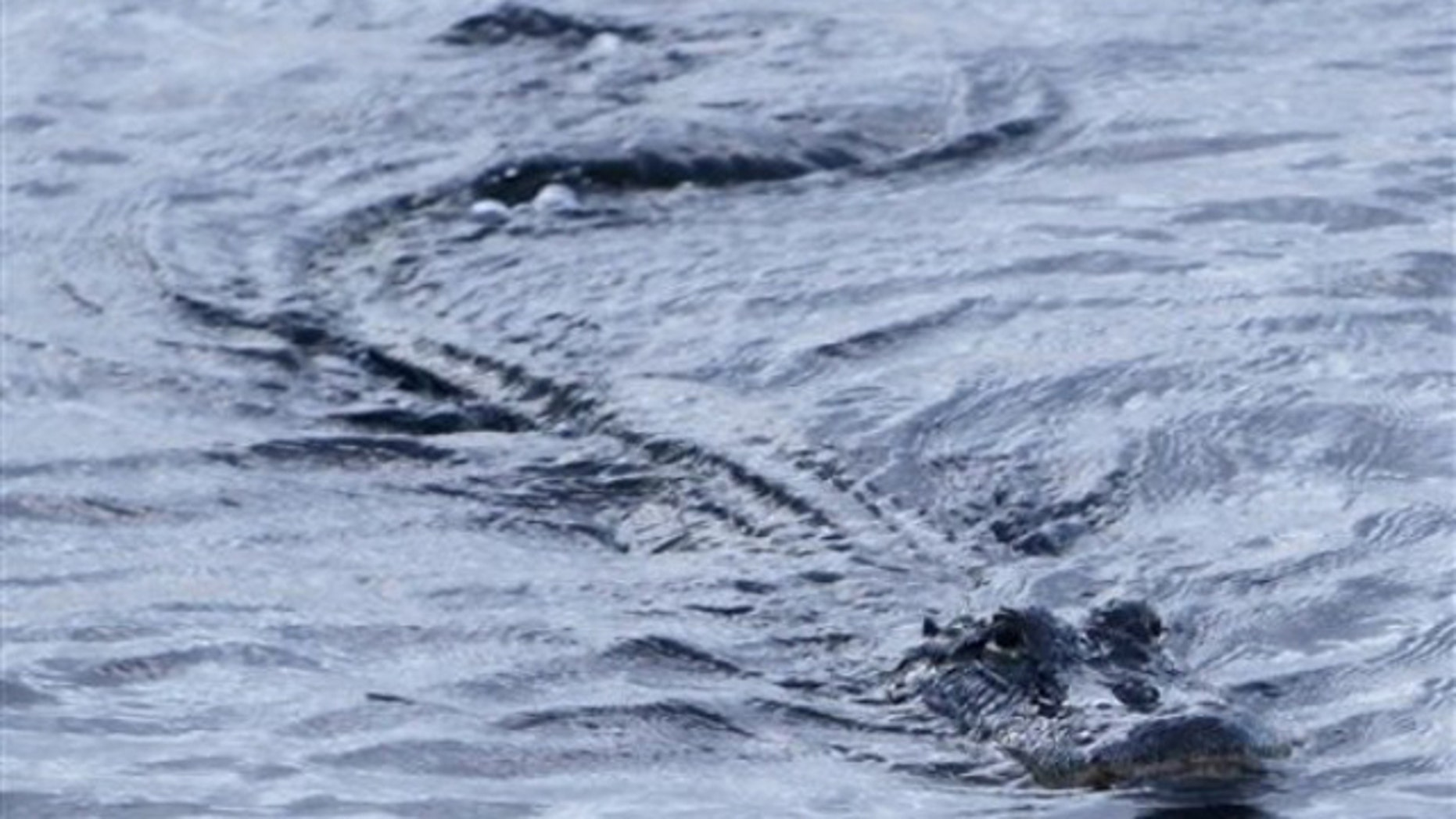 An alligator swims in a canal in Coopertown, the Everglades, Fla., Thursday, July 29, 2010.