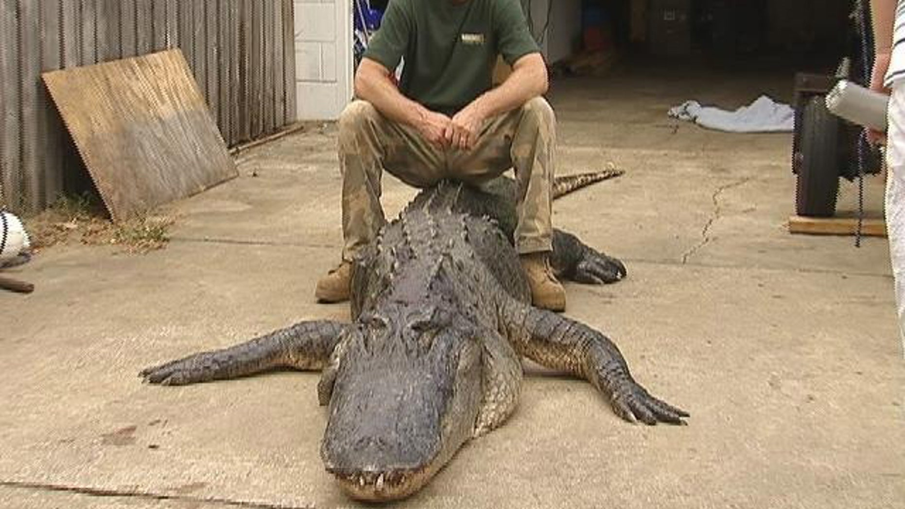 Tres Ammerman caught the mammoth beast just west of Melbourne, Fla., in the last hour of the last day of alligator hunting season, MyFoxOrlando.com reports.