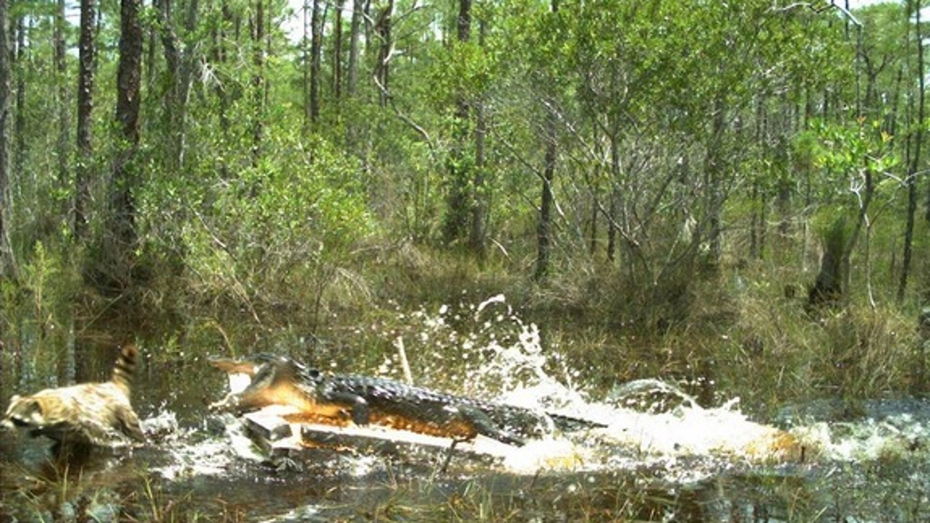 An alligator attacking a raccoon in the Florida Everglades.