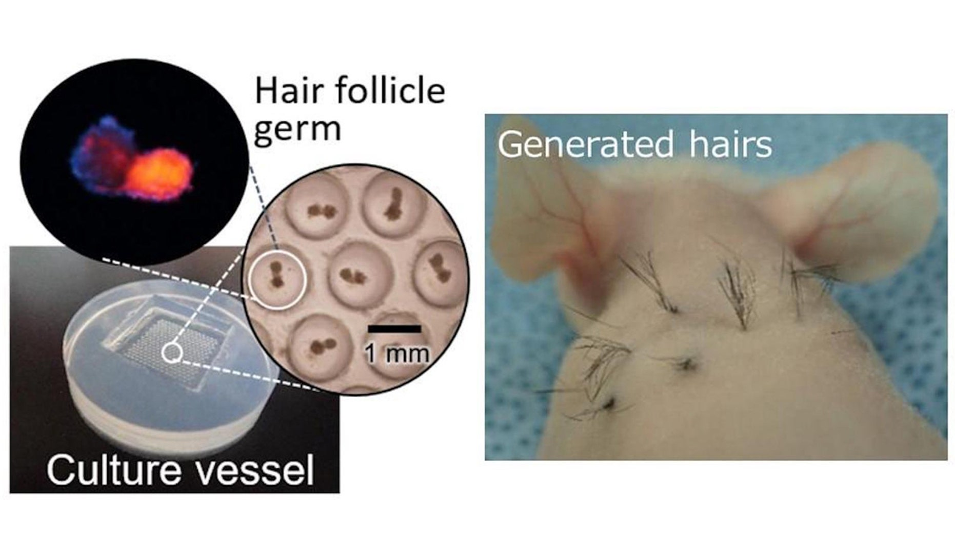 A team of scientists have discovered the use of a chemical found in McDonald's french fries can help grow hair follicles.