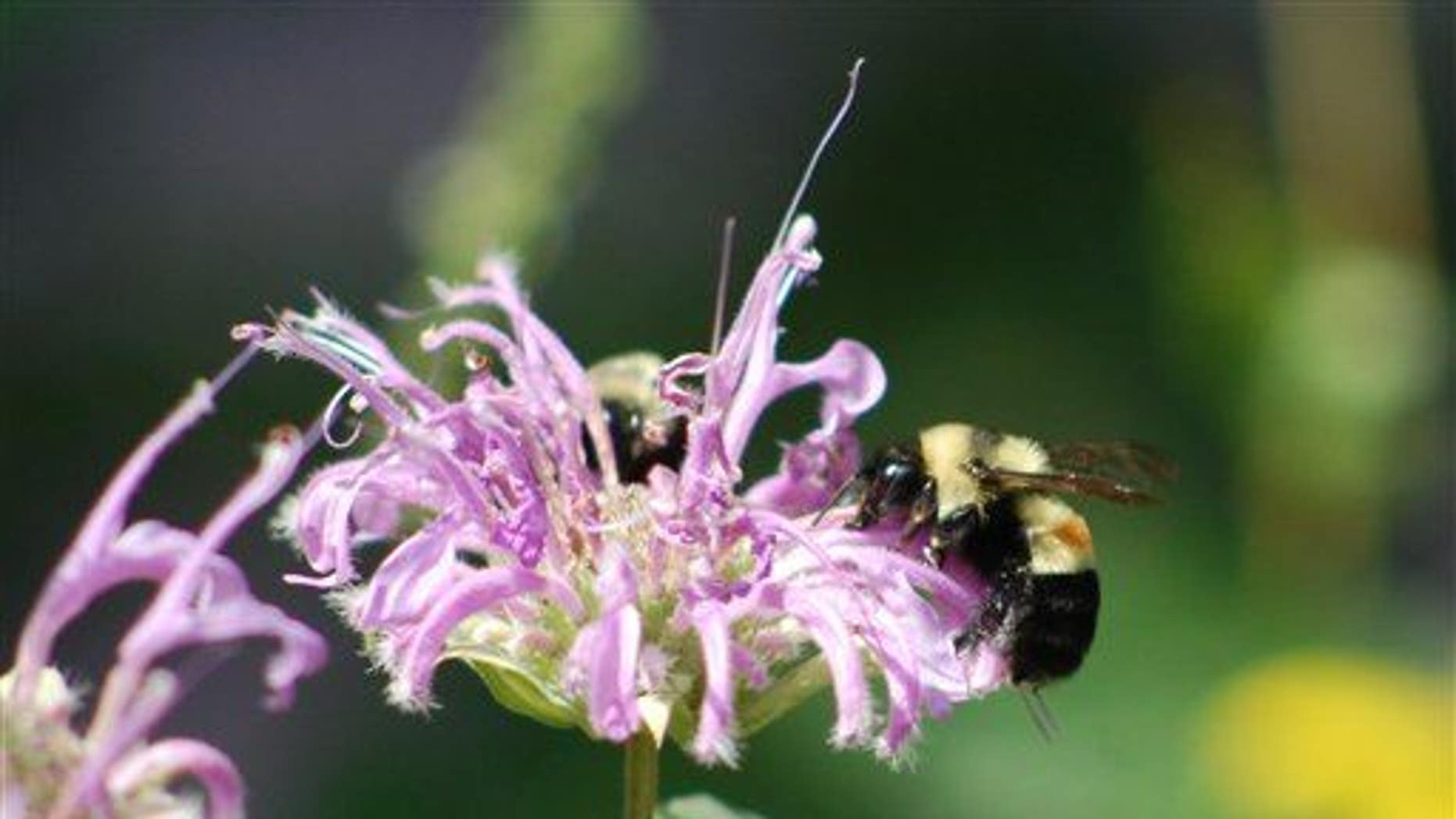 This photo shows a rusty patched bumblebee on Aug. 14, 2008, in Peoria, Ill. (AP Photo/Johanna James-Heinz)
