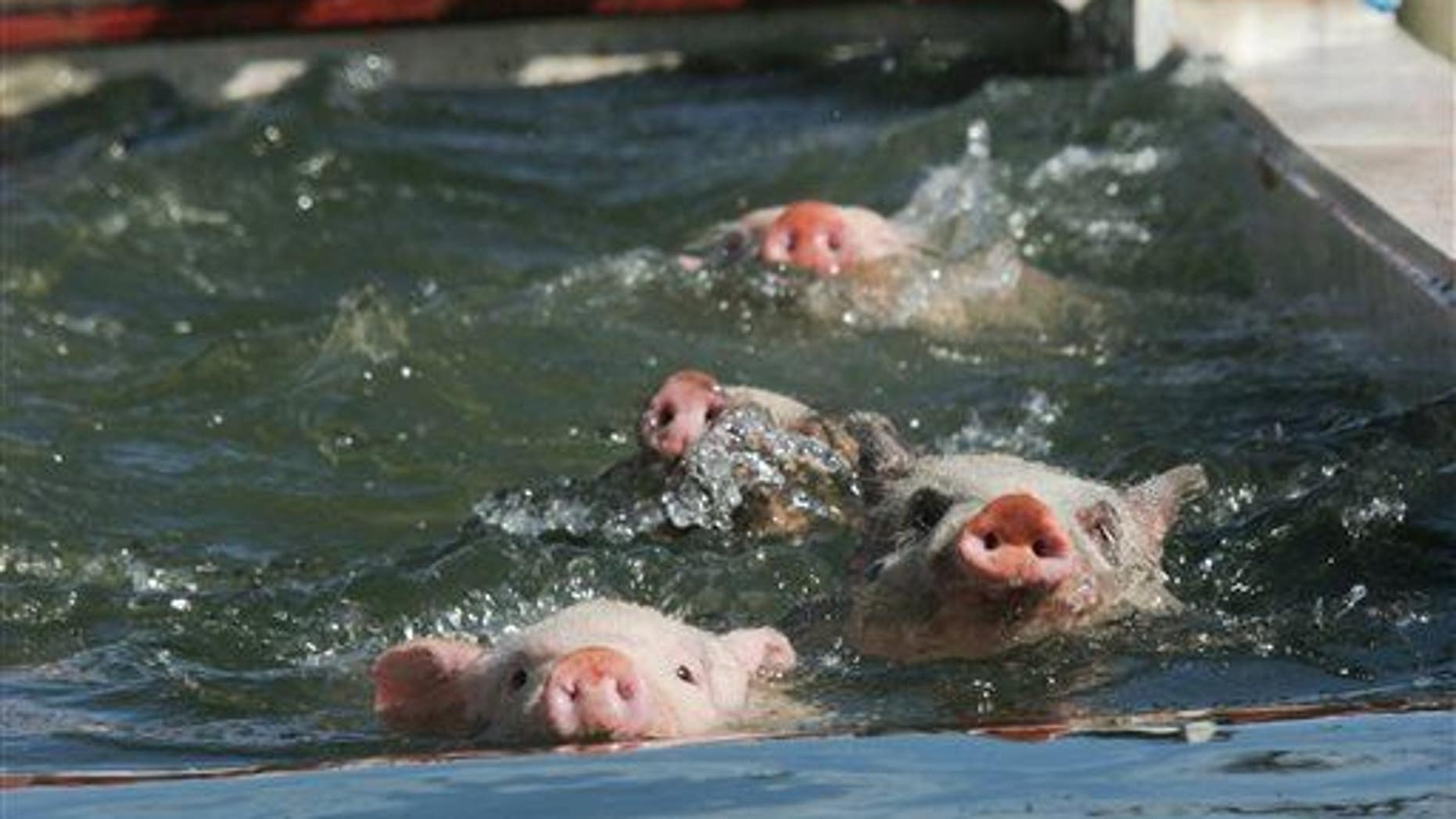 Four pigs not from Pig Beach swim across a trough of water in McDonough Ga.
