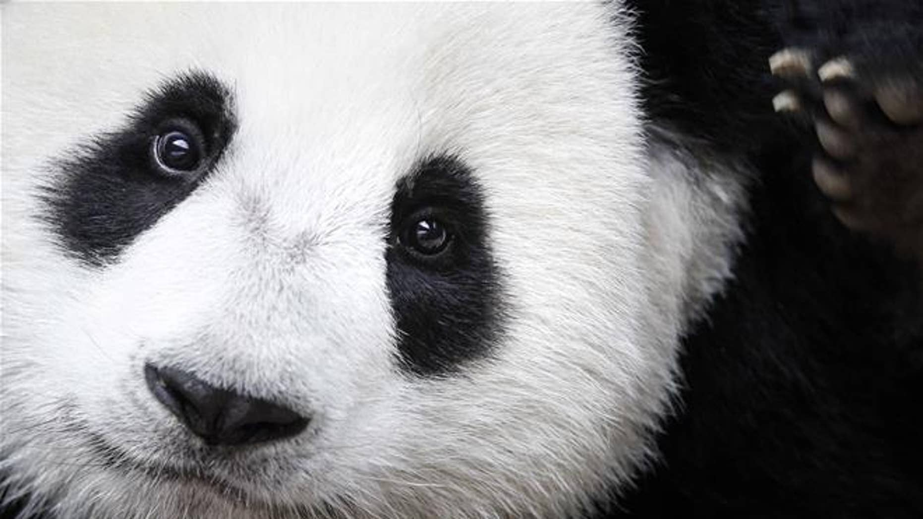 Nuan Nuan is shown at the Giant Panda Conservation Center in Kuala Lumpur, Malaysia.