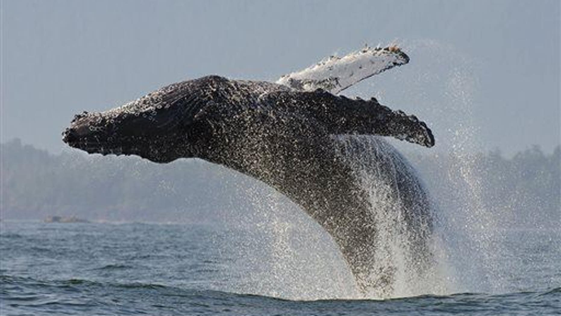 This undated image released by PBS shows a humpback whale.