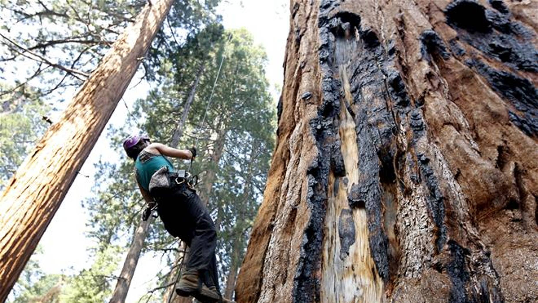 A tree biologist climbs a Giant Sequoia to retrieve a sensor that measures temperature and humidity near Visalia, Calif.