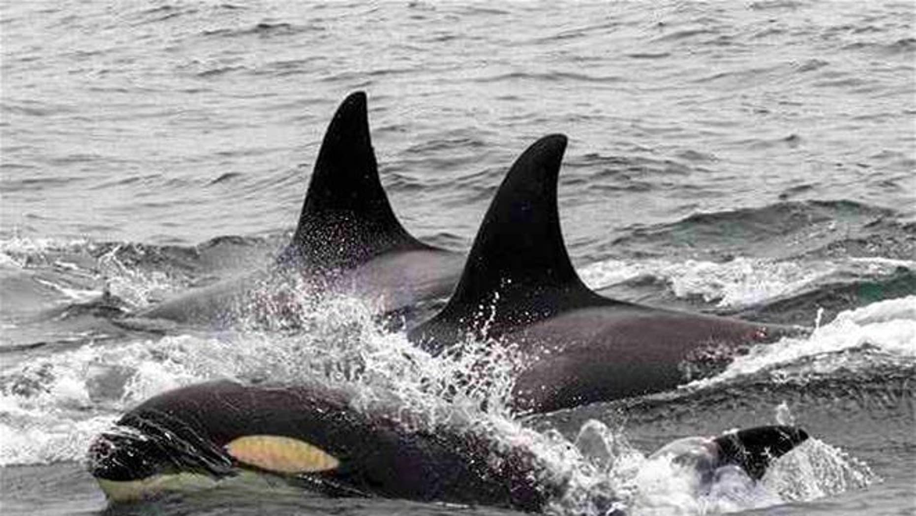 A pod of orcas in Monterey Bay offshore of Monterey, Calif. Killer whales are on an unprecedented killing spree in the bay, attacking and feeding on gray whale calves, a marine biologist said.