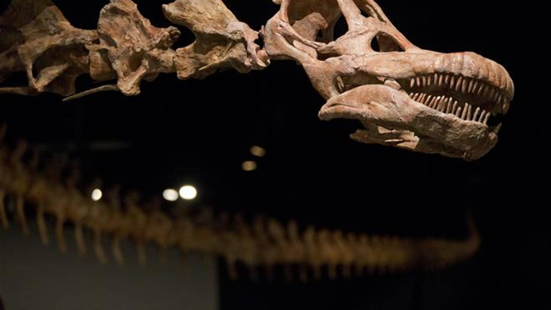 A replica of a 122-foot-long dinosaur is displayed at the American Museum of Natural History in New York.