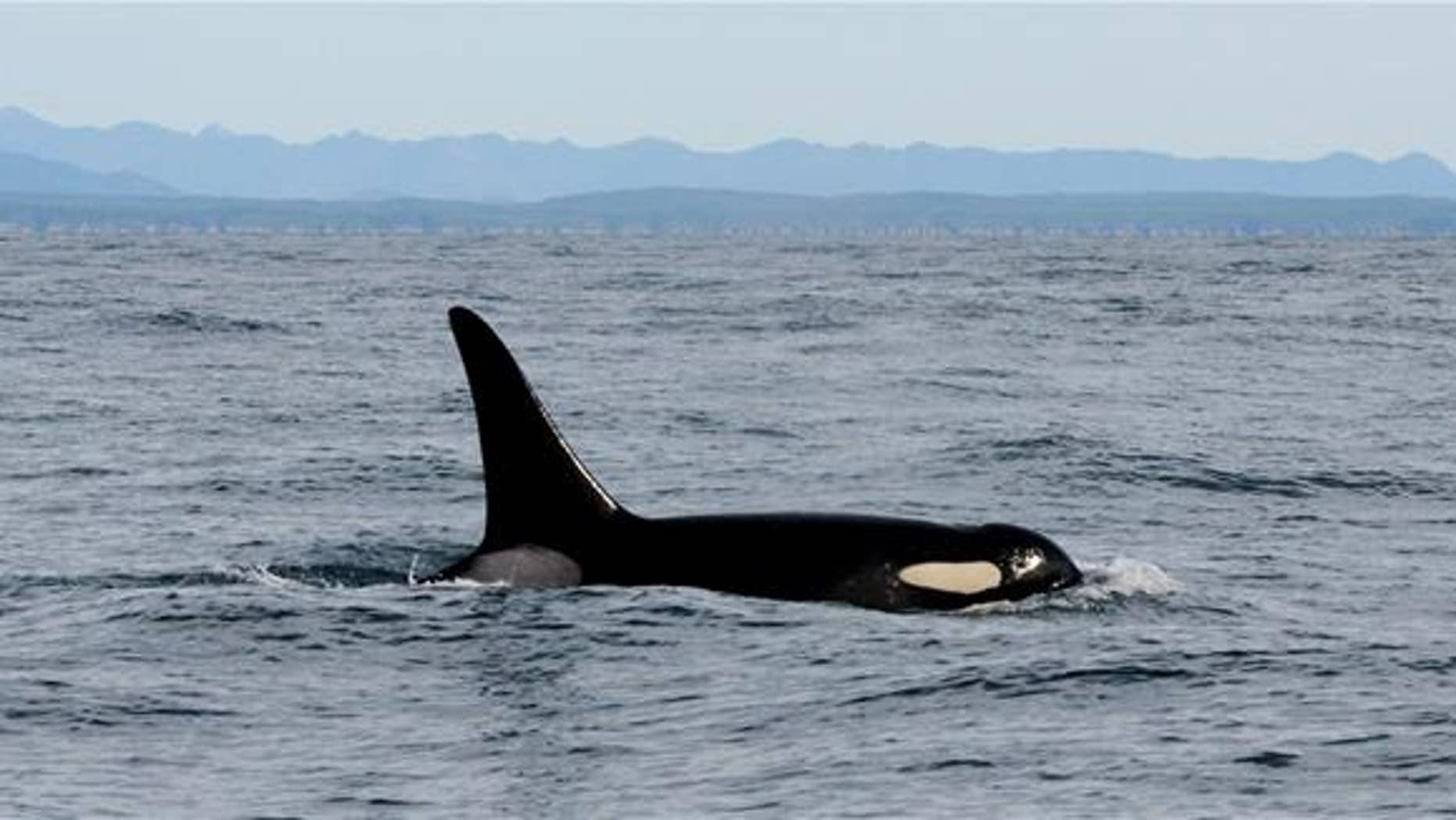 An orca whale swims in the Pacific Ocean near La Push, Wash.