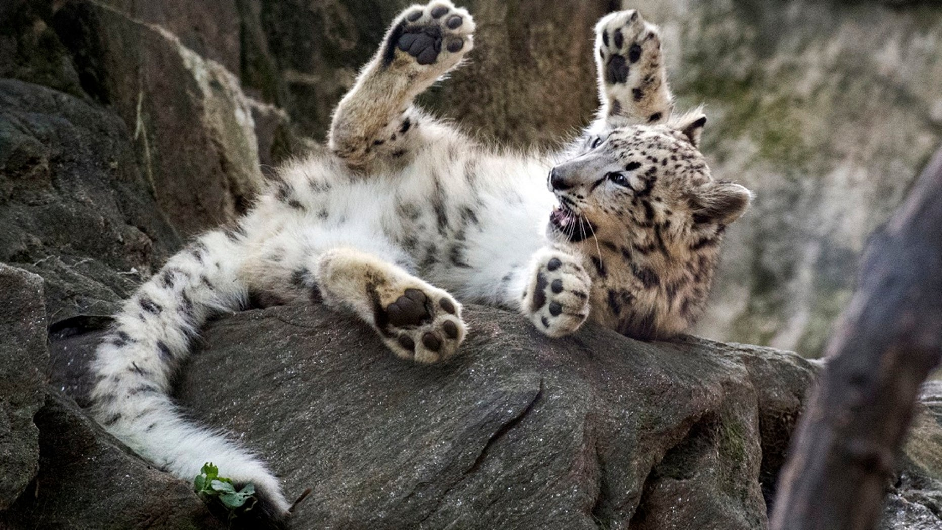 A female snow leopard cub at the Bronx Zoo. The zoo announced Thursday that the snow leopard cub has made its public debut just in time for Halloween.