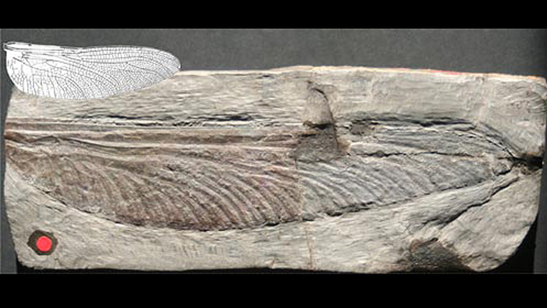 An image of a 7.5-inch-long 300-million year old fossil wing from Stephanotypus schneideri, along with an illustration of the largest relatively recent insect wing for comparison, that of 12-million-year-old 2.6-inch-long Epiaeschna lucida wing.