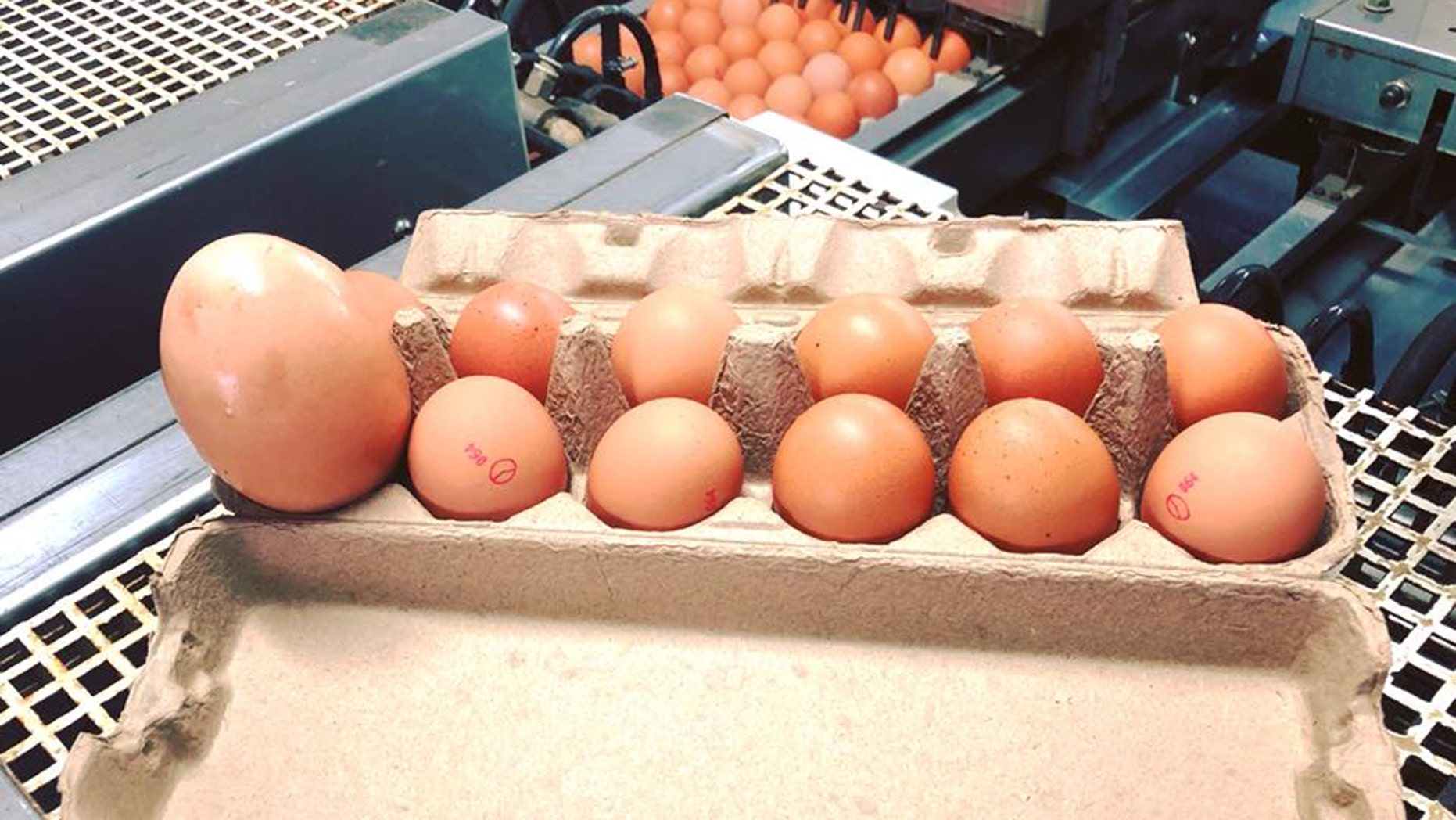 A picture of the giant egg next to normal sized eggs. (Credit: Stockman's Eggs, Facebook)