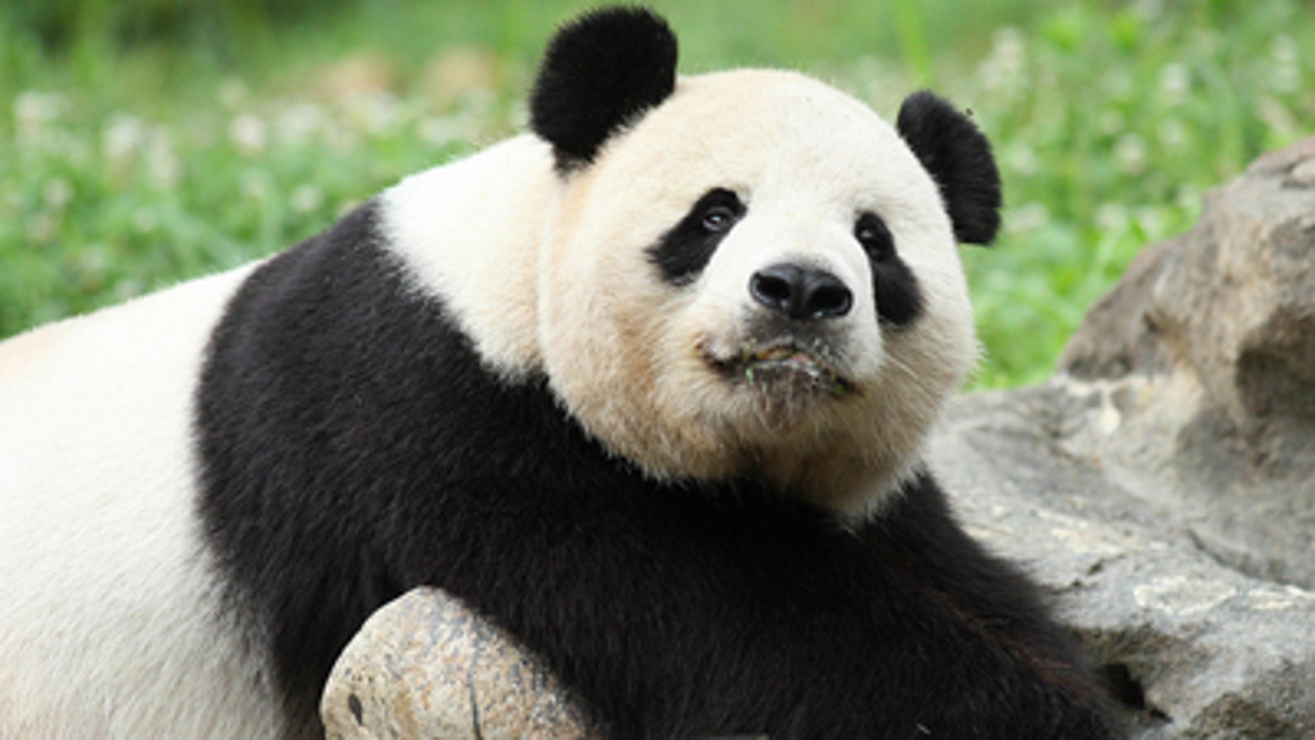 Tian Tian and his partner Yangguang will move to the UK as soon as possible