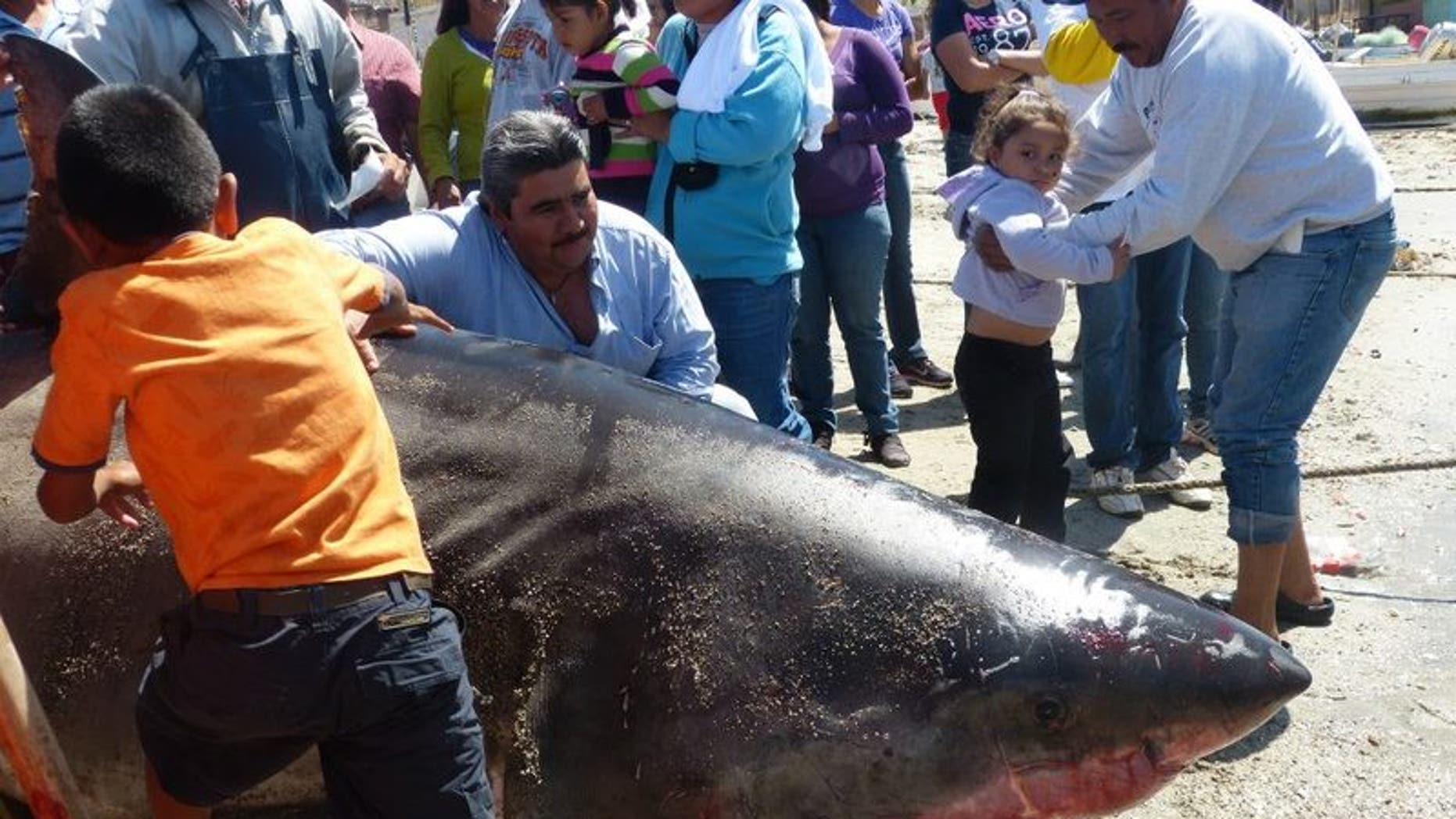 The massive catch, according to local reports, would be one of the longest great white sharks ever recorded if verified at a length of six meters, or 19.8 feet. (San Carlos Fishing Forum)