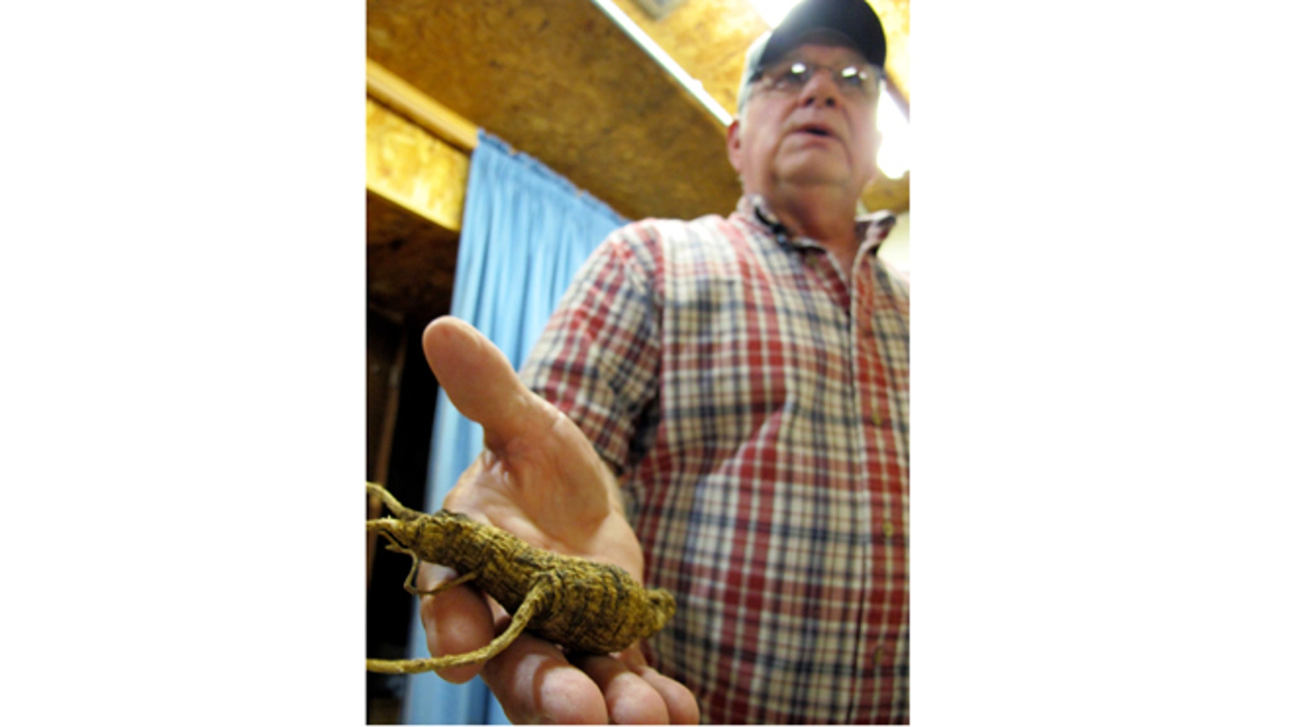 Sept. 18, 2012: Don Dobbs, owner of Buckhorn Ginseng, holds a wild ginseng root on in Richland Center, Wis.
