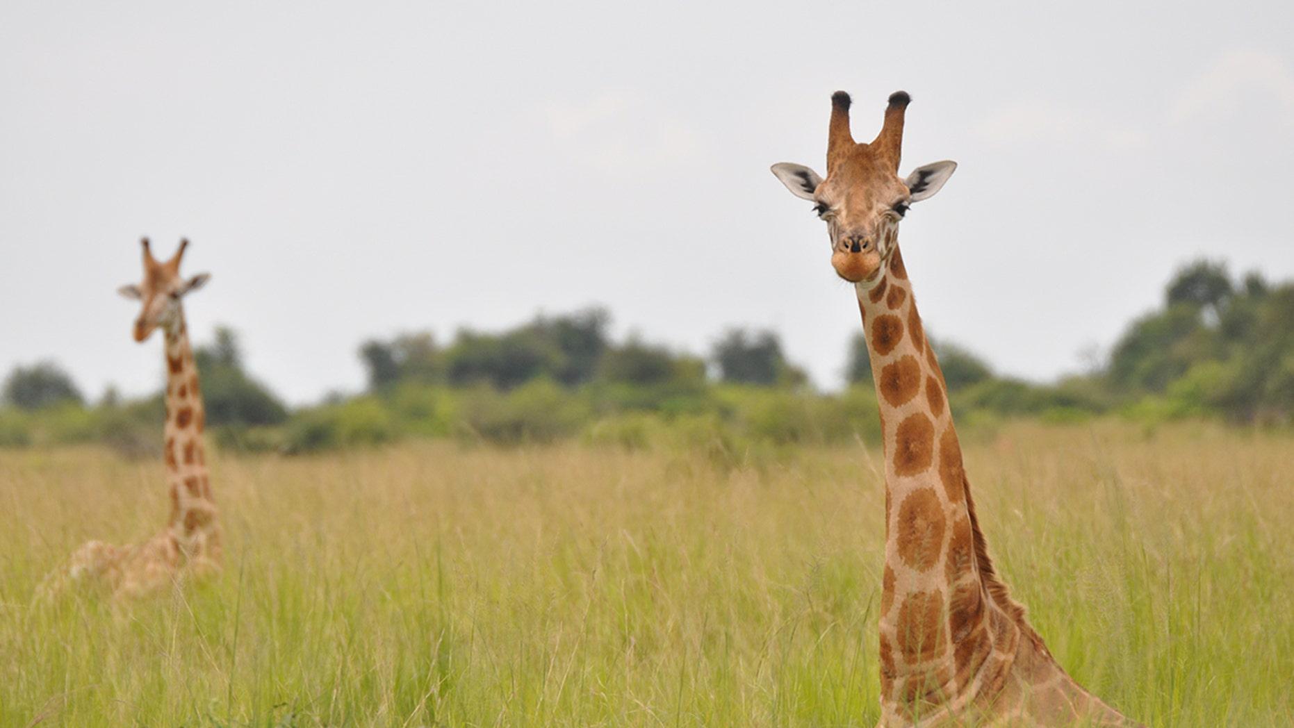 A Nubian giraffe in Murchison Falls National Park, Uganda.