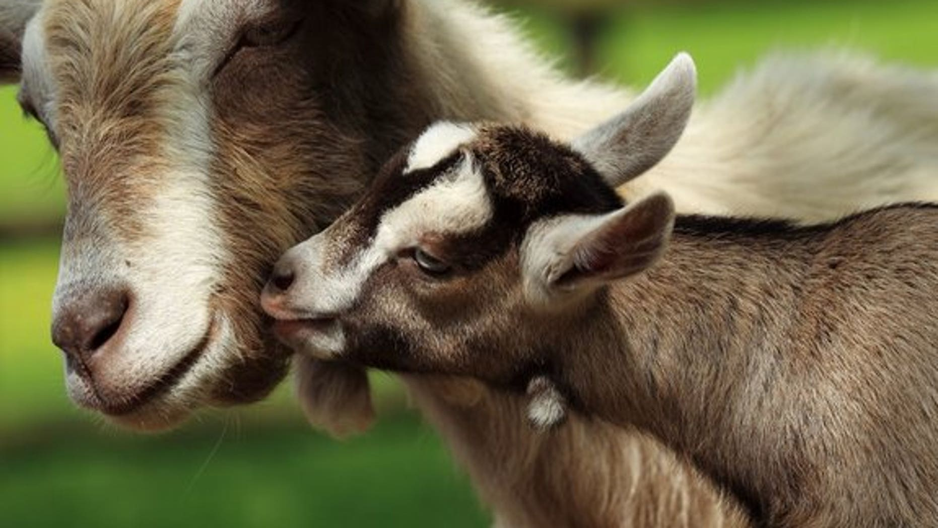 A baby goat nuzzles its mama.
