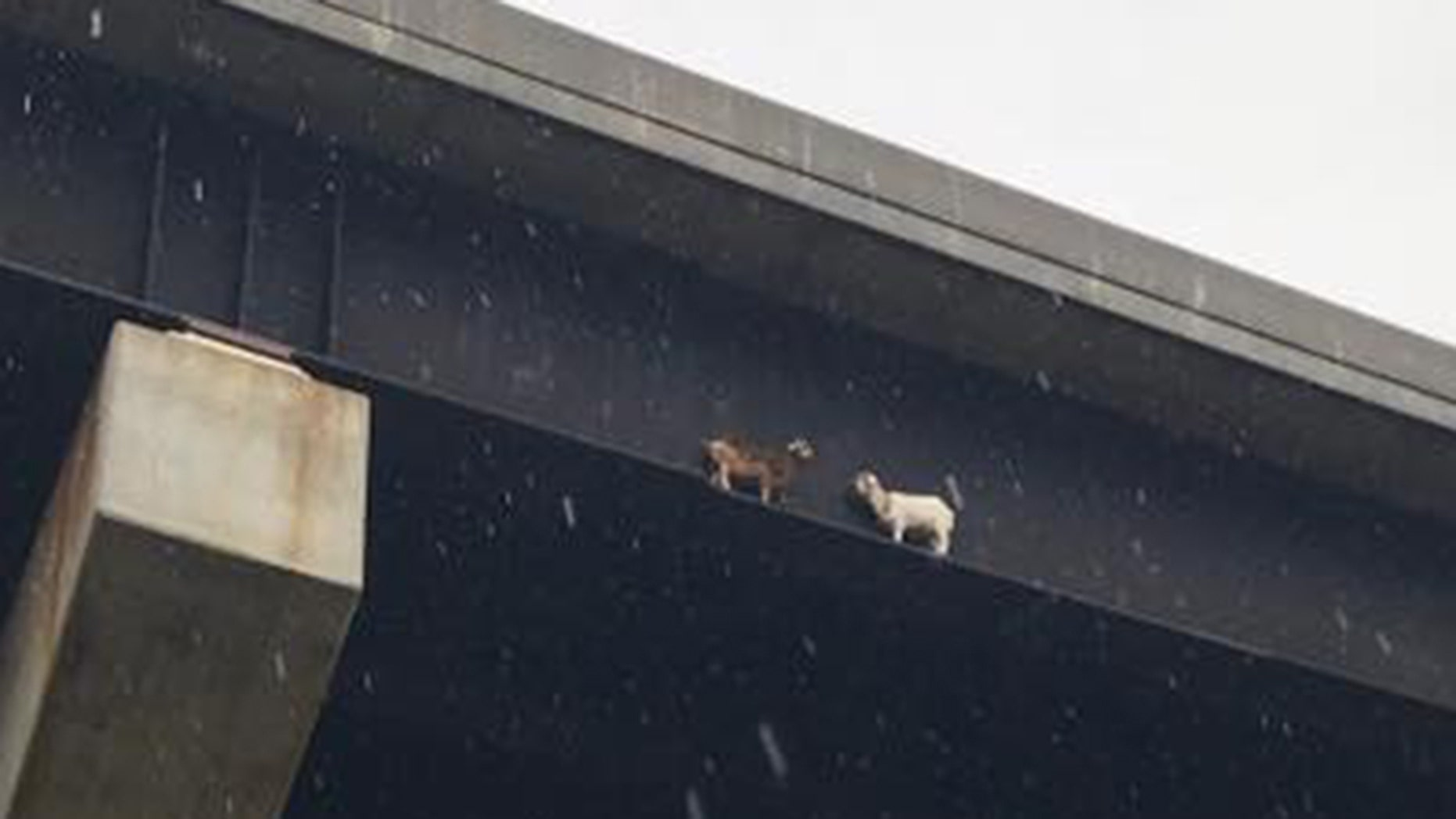Two goats were found stranded on a bridge beam in western Pennsylvania on Tuesday.