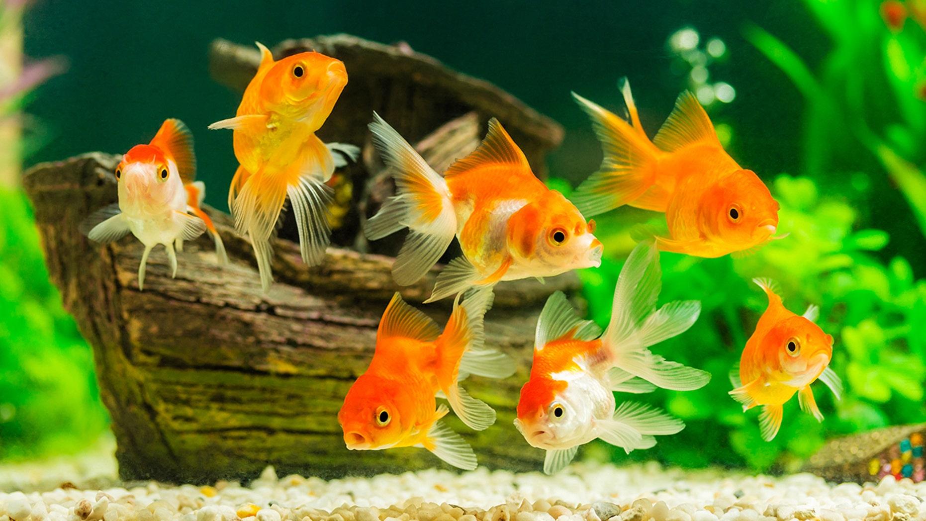 The Paris Aquarium is providing sanctuary to unwanted pet goldfish.