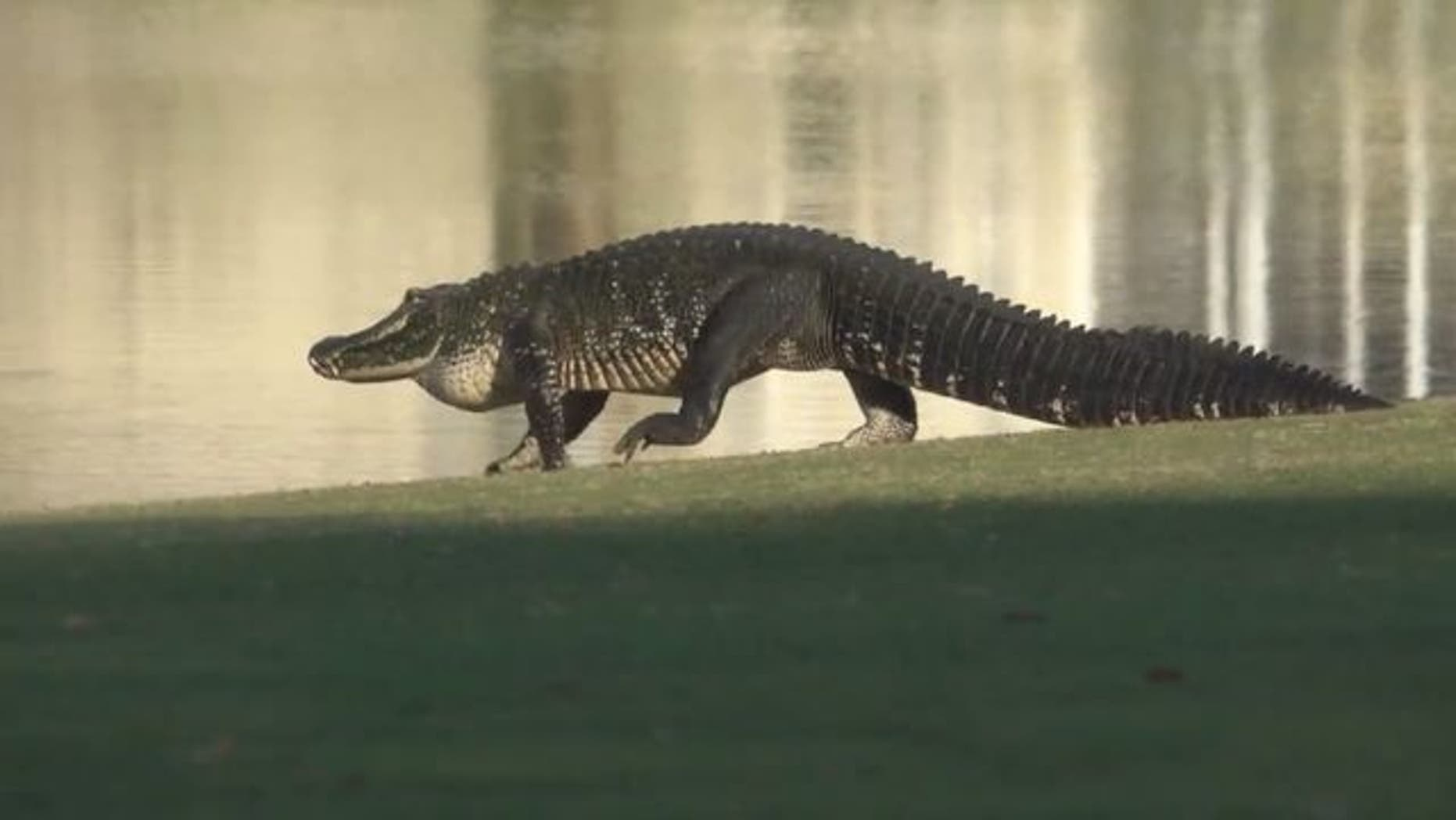 One of the gators on parade.