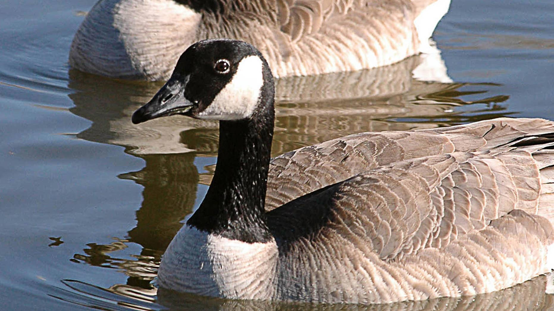 Two Canada geese soak up the sun on Capitol Lake Thursday, Feb. 3, 2005 near the State Capitol in Pierre, S.D. Warm temperatures throughout the area had people and animals alike basking in the sun and enjoying the warm winter day. (AP Photo/Doug Dreyer)STAND ALONE