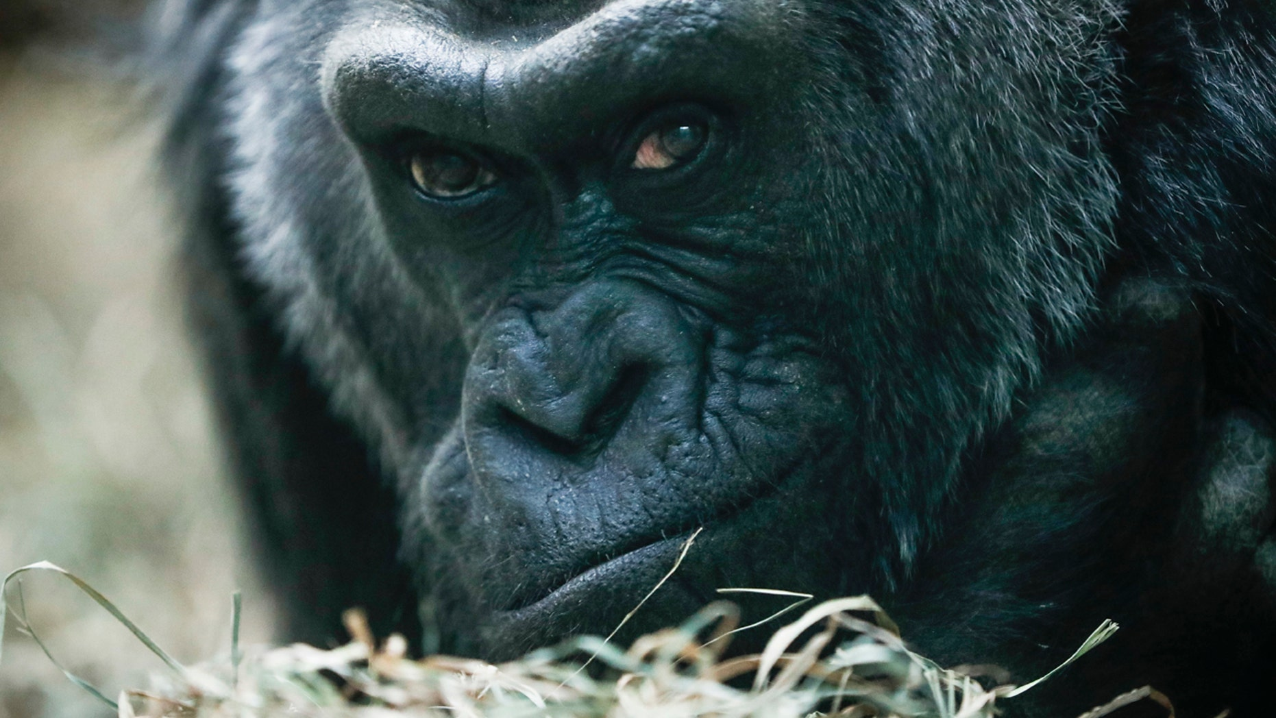 FILE - In this Dec. 15, 2016 file photo, Colo, a western lowland gorilla, rests in her enclosure at the Columbus Zoo, in Columbus, Ohio.