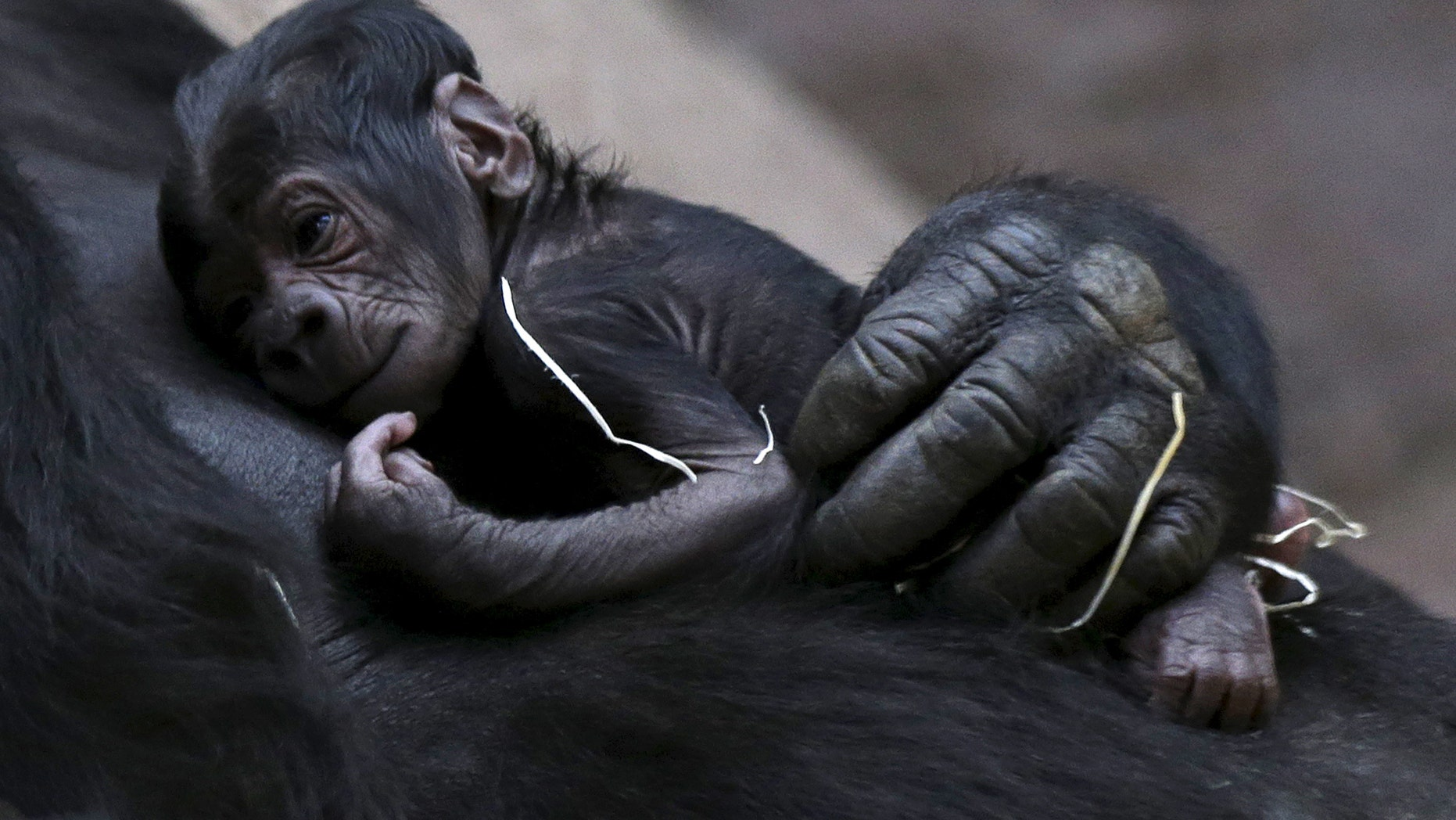 Shinda, a western lowland gorilla, holds her newborn baby in its enclosure at Prague Zoo, Czech Republic, April 24, 2016. (REUTERS/David W Cerny)
