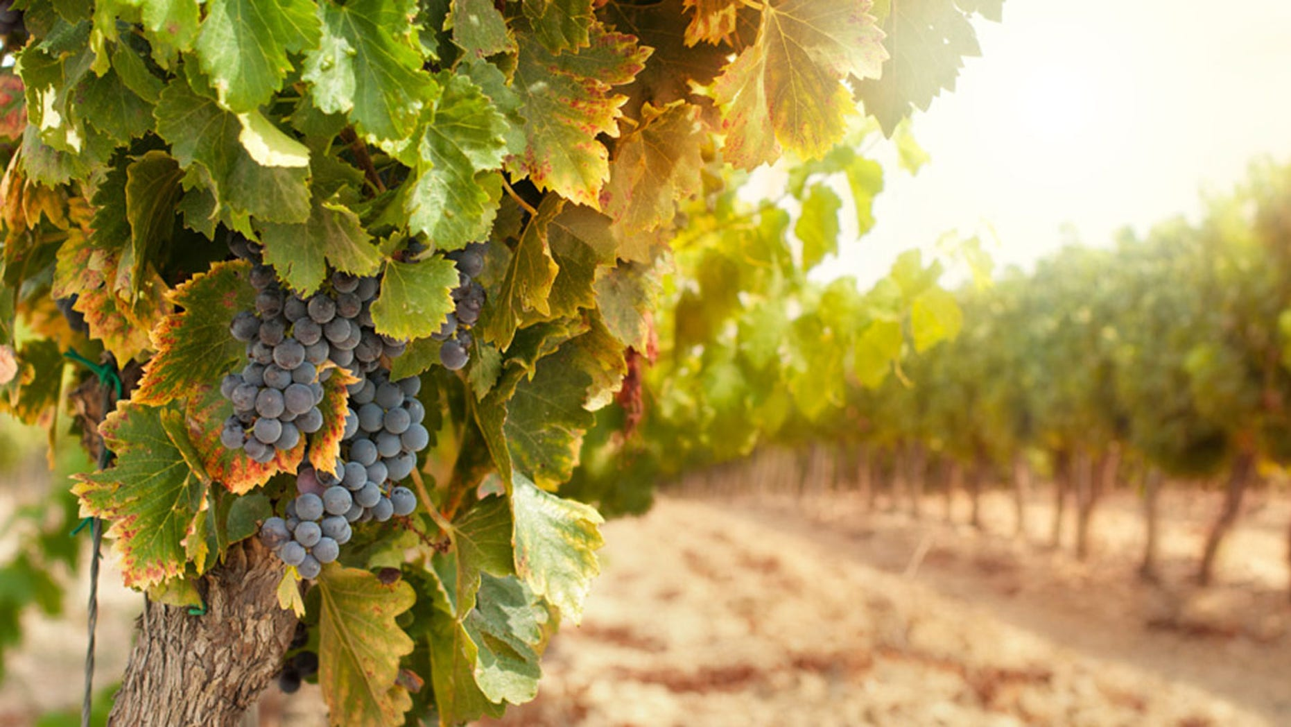 Cabernet cauvignon and pinot noir seem to get all the love --but these need some respect too.