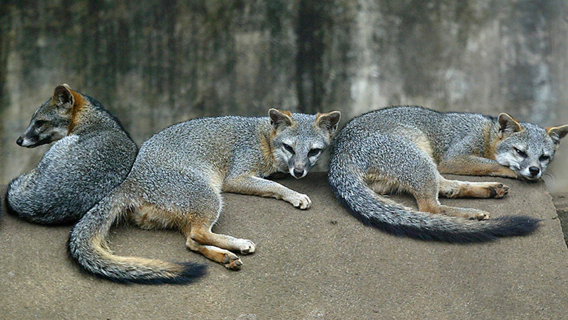 A gray fox (not pictured) attacked a woman in New York Saturday evening. (Reuters)