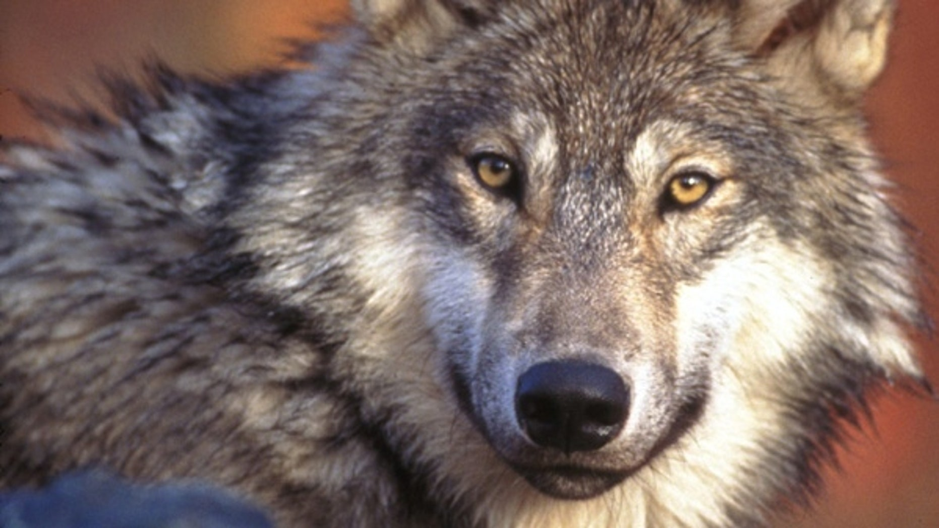 The Idaho Gray Wolf is no longer endangered, but there are strict regulations for hunting them. (AP)